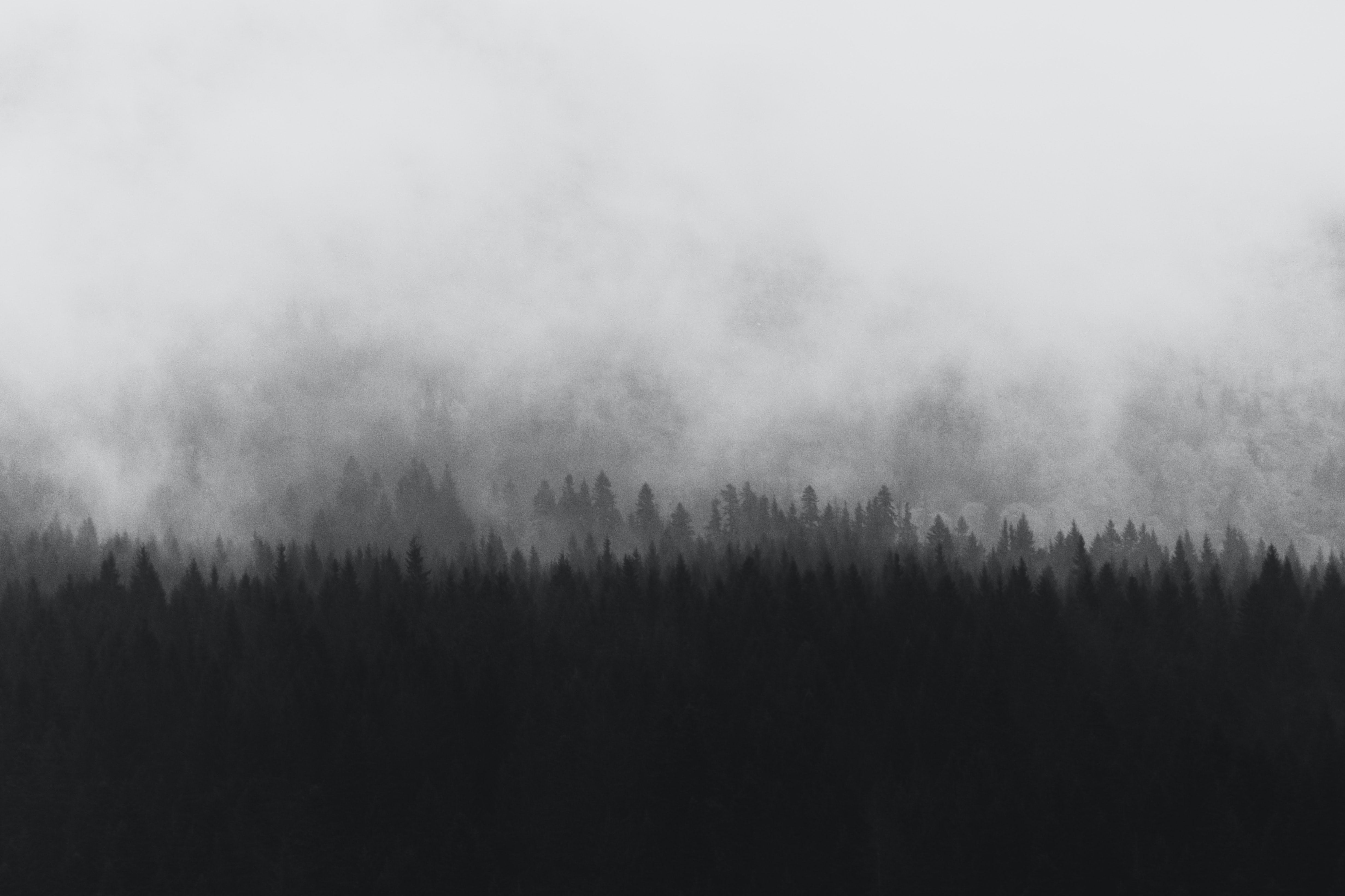 Tree silhouettes shrouded in a fog