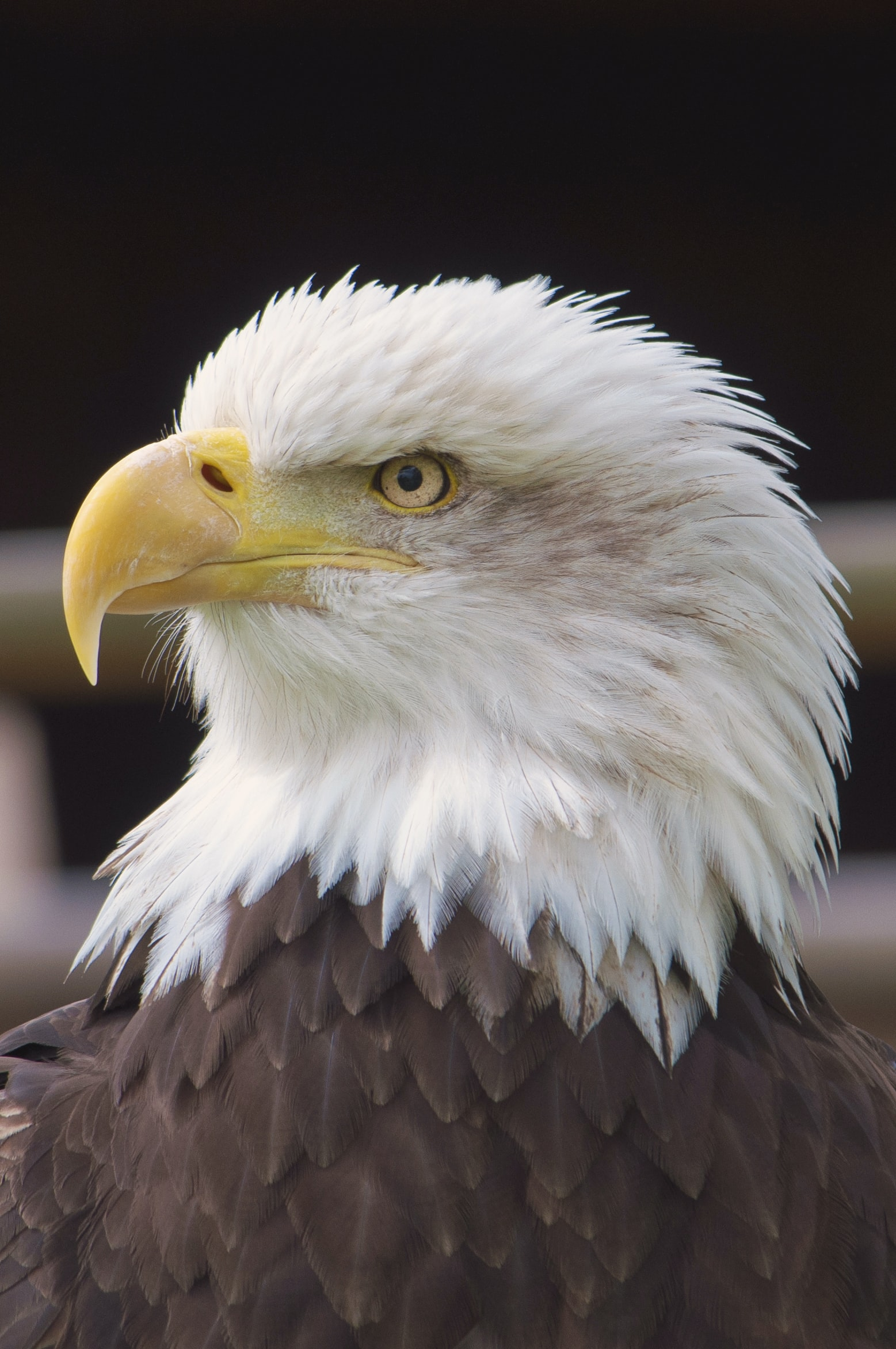 close view of Bald Eagle