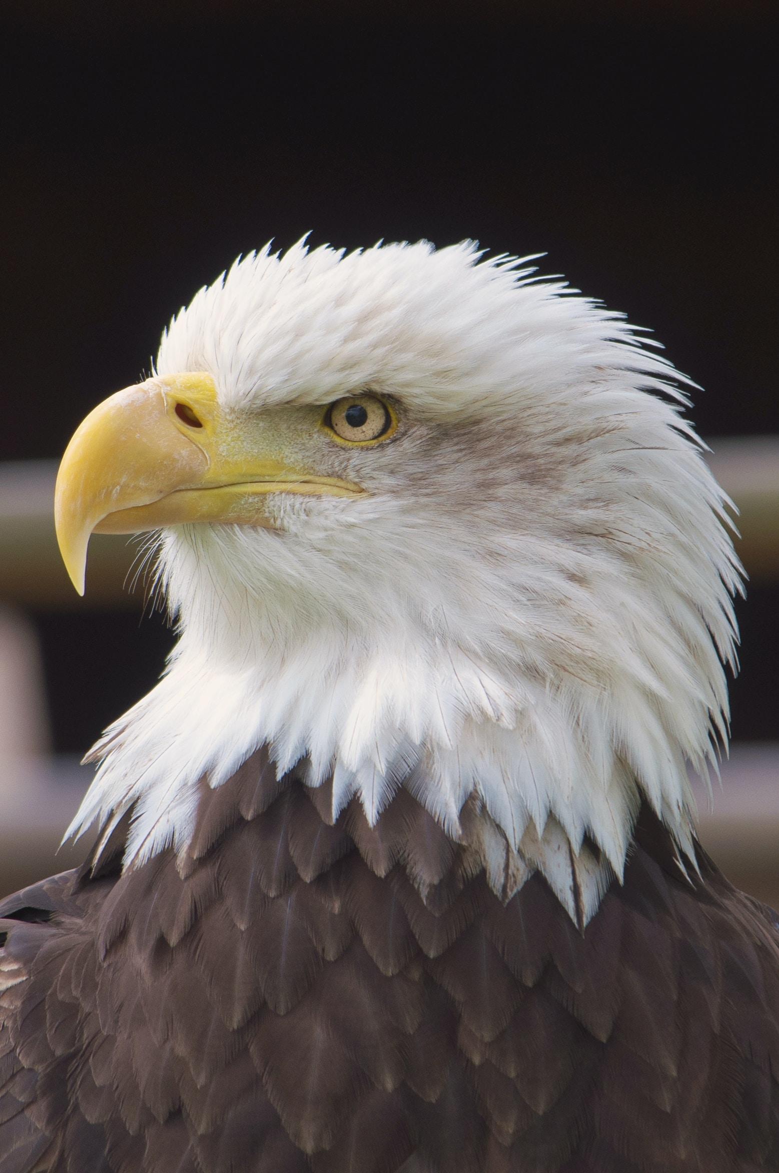 An eagles intention - Haiku - haiku stories