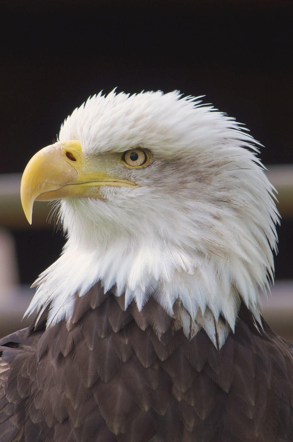 close view of Bald Eagle