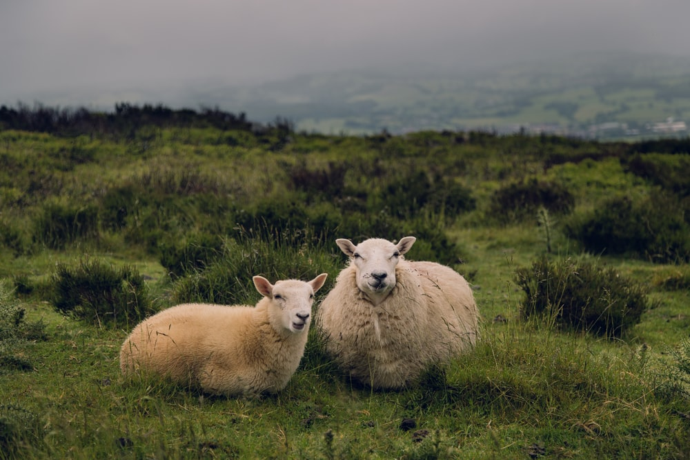 two brown sheep standing on grass field at daytime
