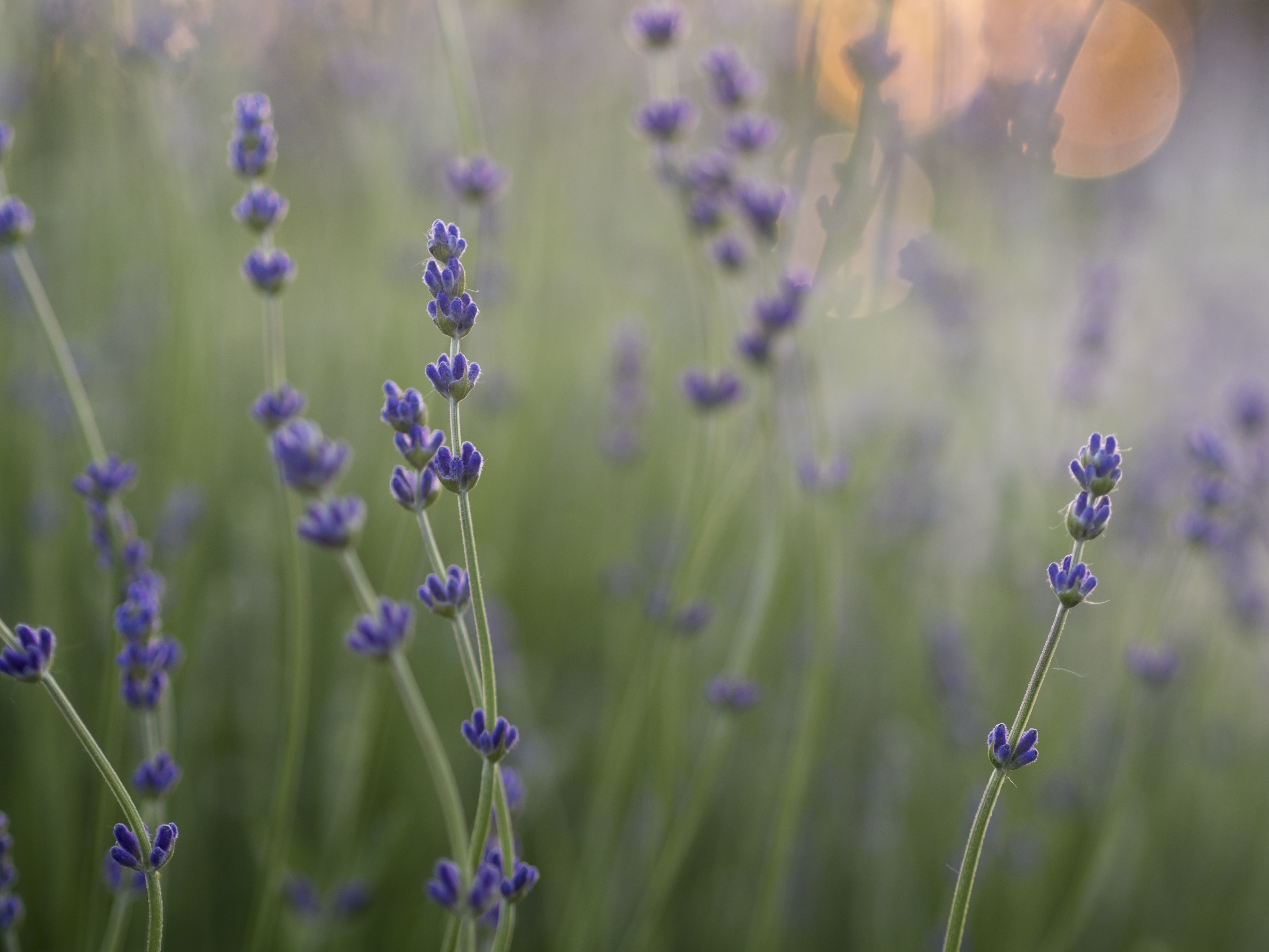 Close-up of lavender plants with bokeh effect in the background