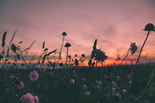 Photo of pink flowers in a field at dusk