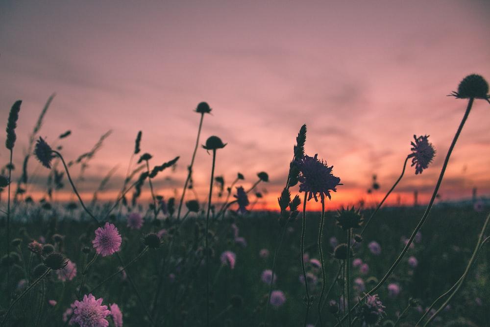 purple flowers in bloom during golden hour