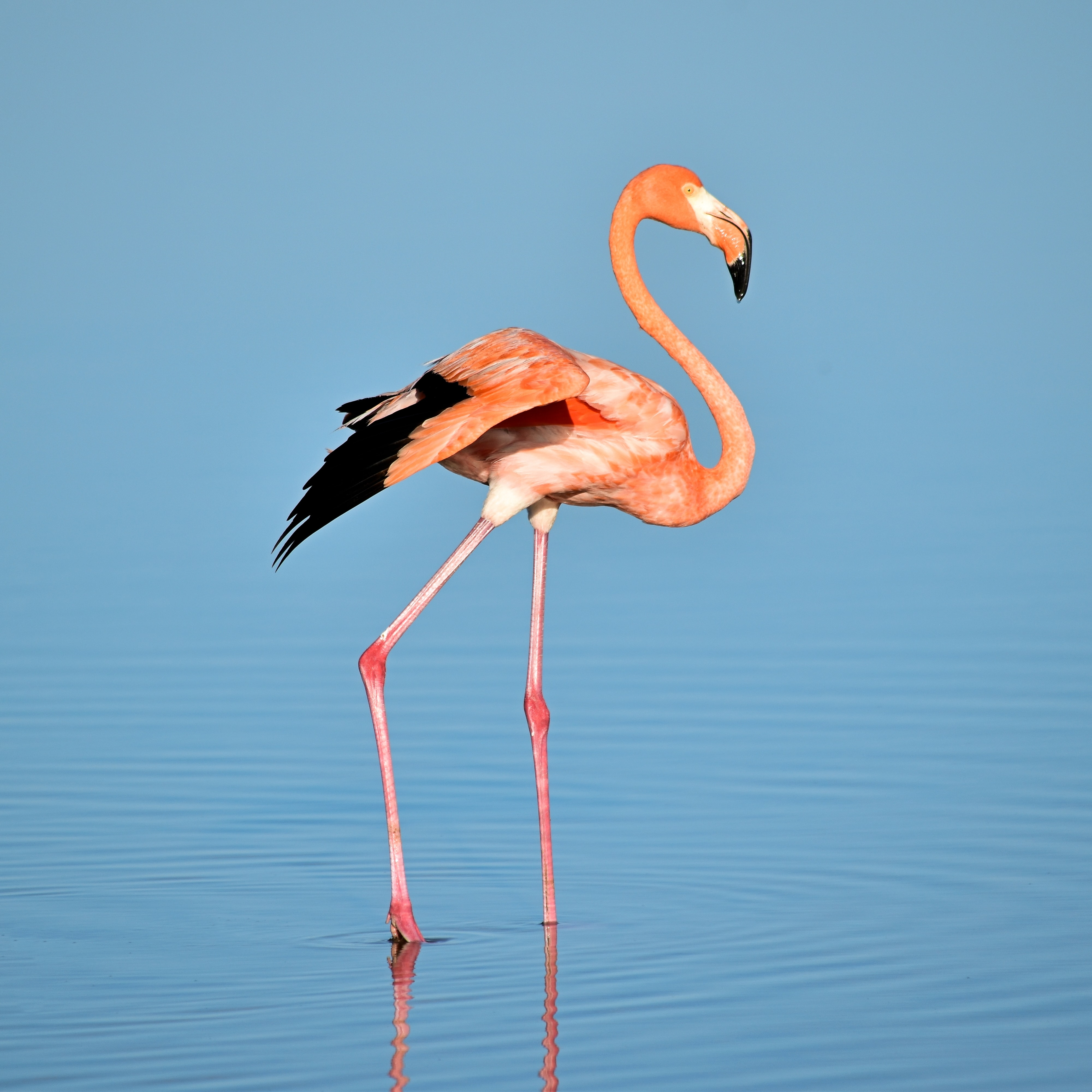 Pink flamingo stands in a calm lake