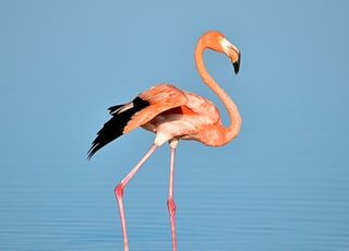 photo of flamingo on water