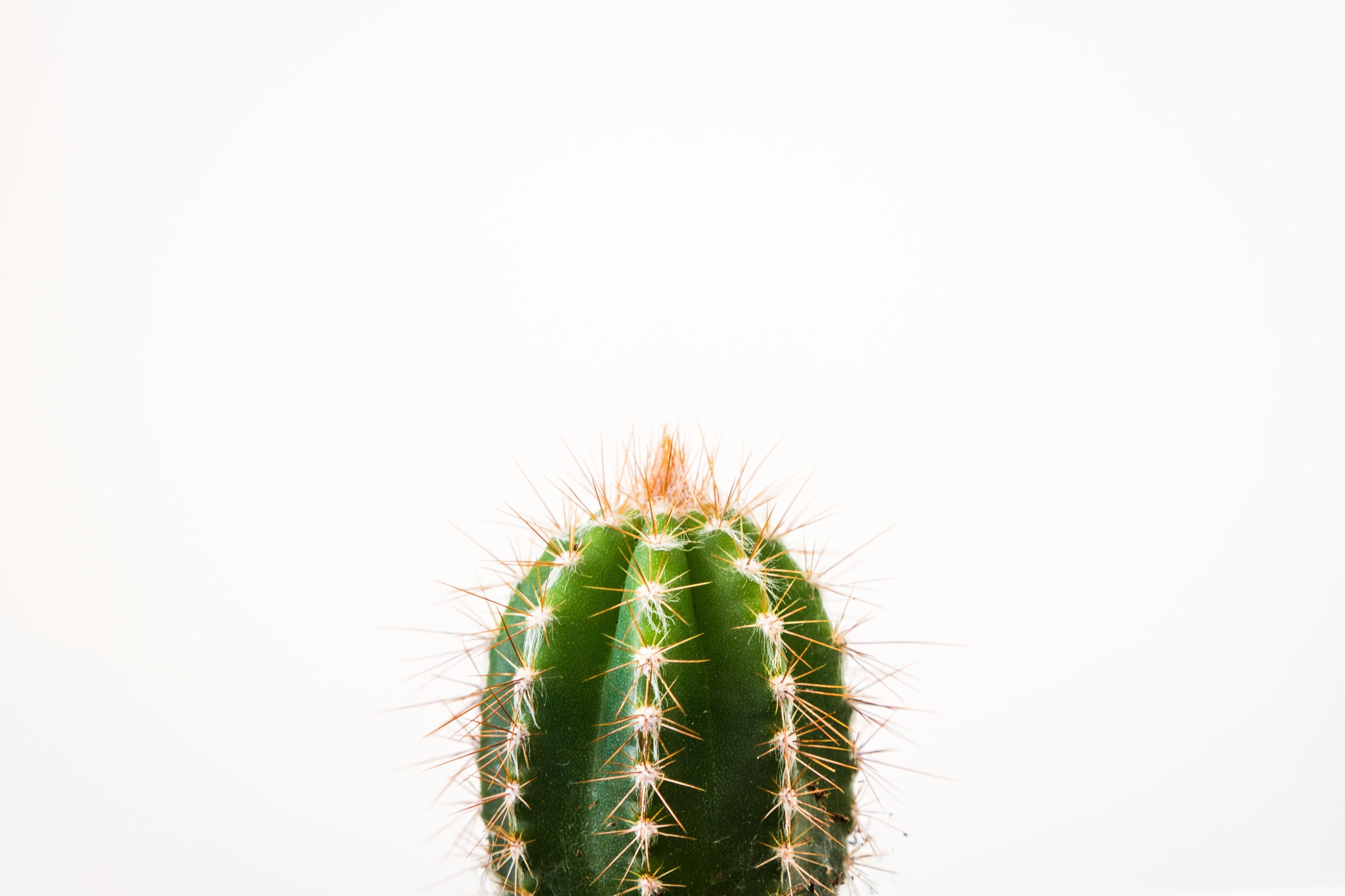 closeup photo of cactus against white background