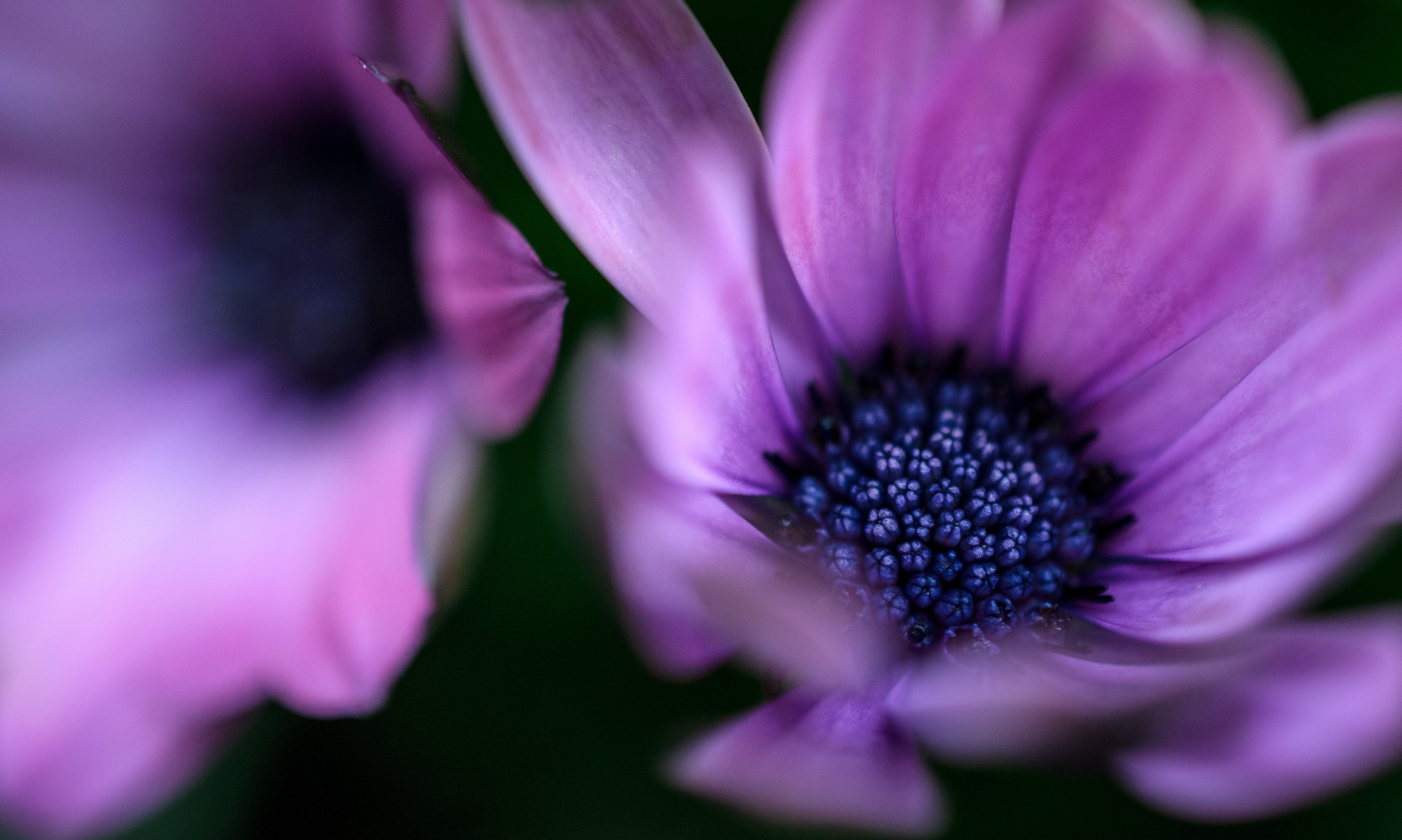 A macro shot of purple flowers with dark blue centers
