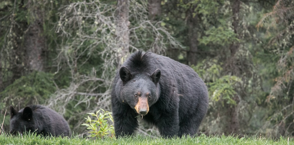black bear walking surrounded with trees