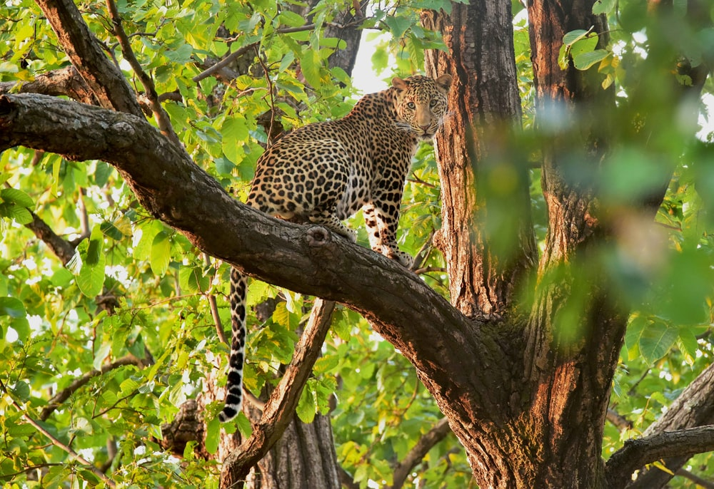 brown and black cheetah on tree