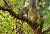 Leopards are excellent tree climbers that sets them apart from the other big cats.