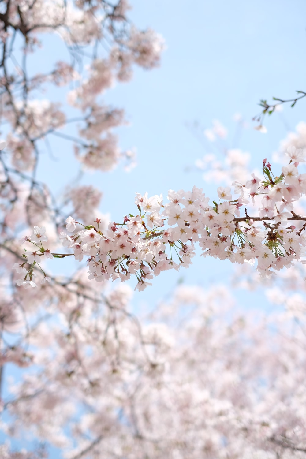 white cherry blossom under clear blue sky during daytime