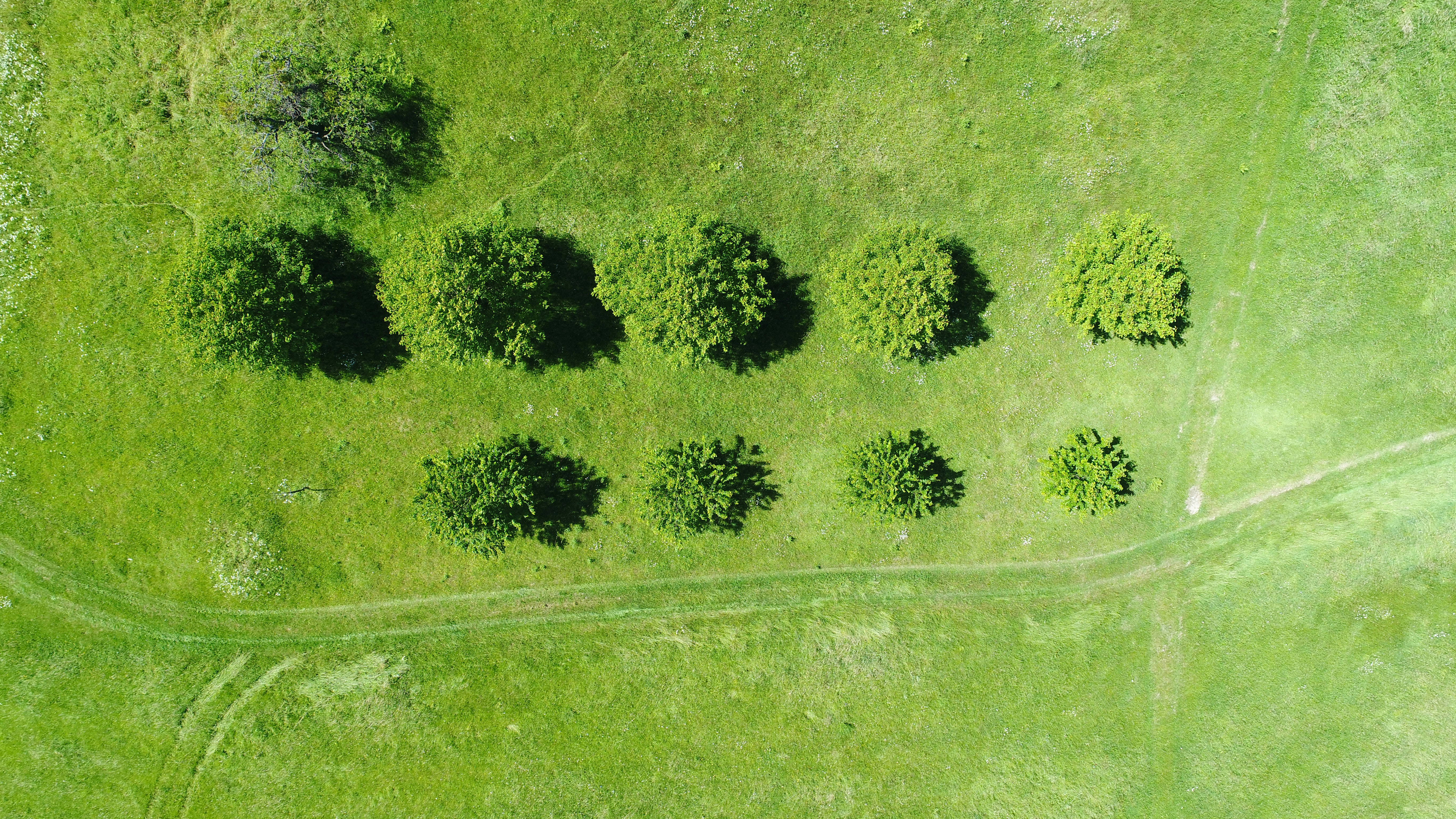 A drone shot of several trees in rows in a green field