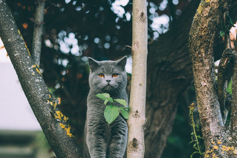 adult British shorthair standing between trees