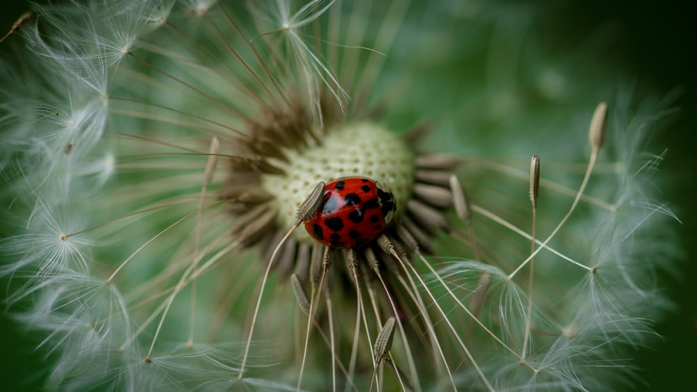 ladybug standing on white dandelion