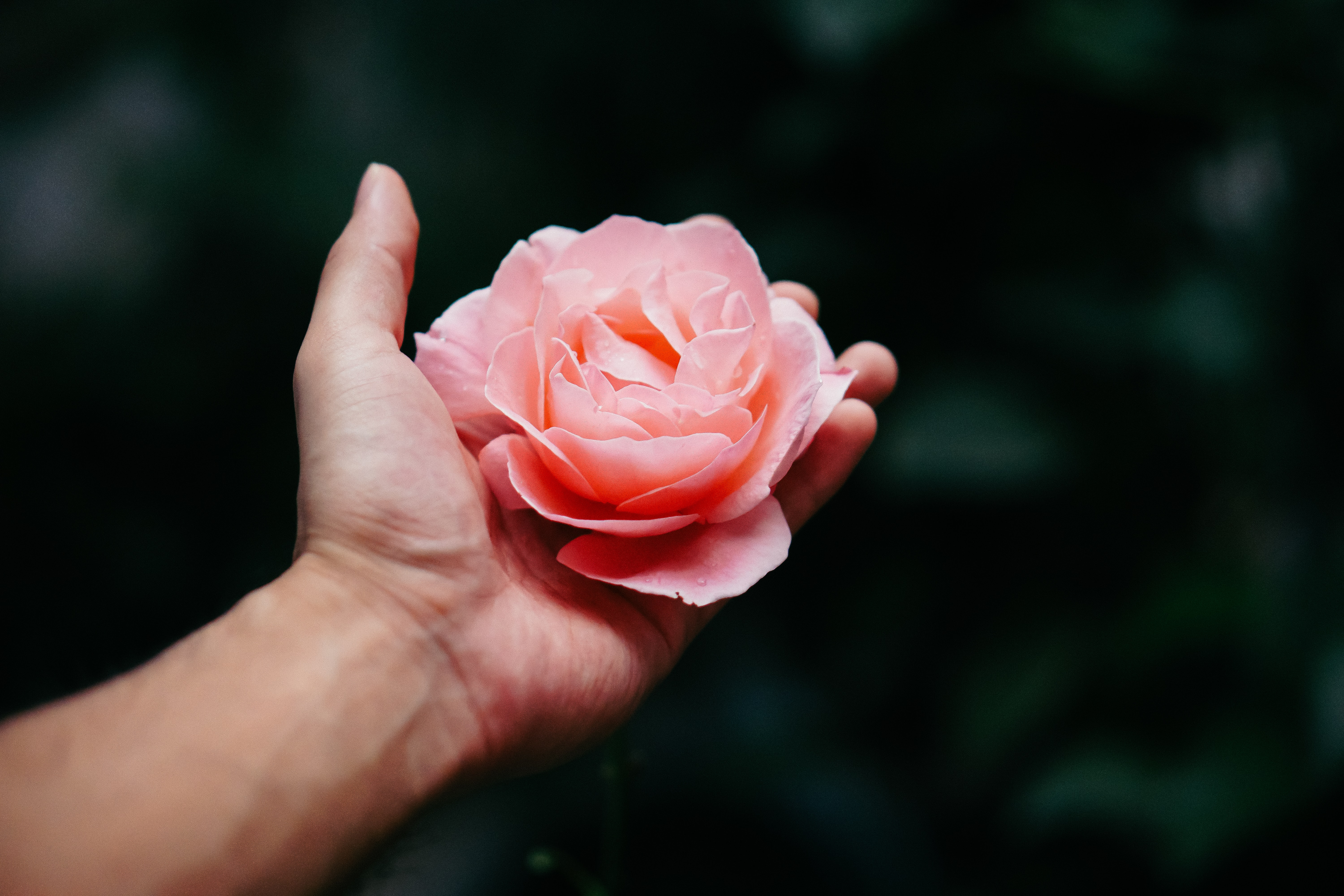 A light pink rose flower in a person's hands