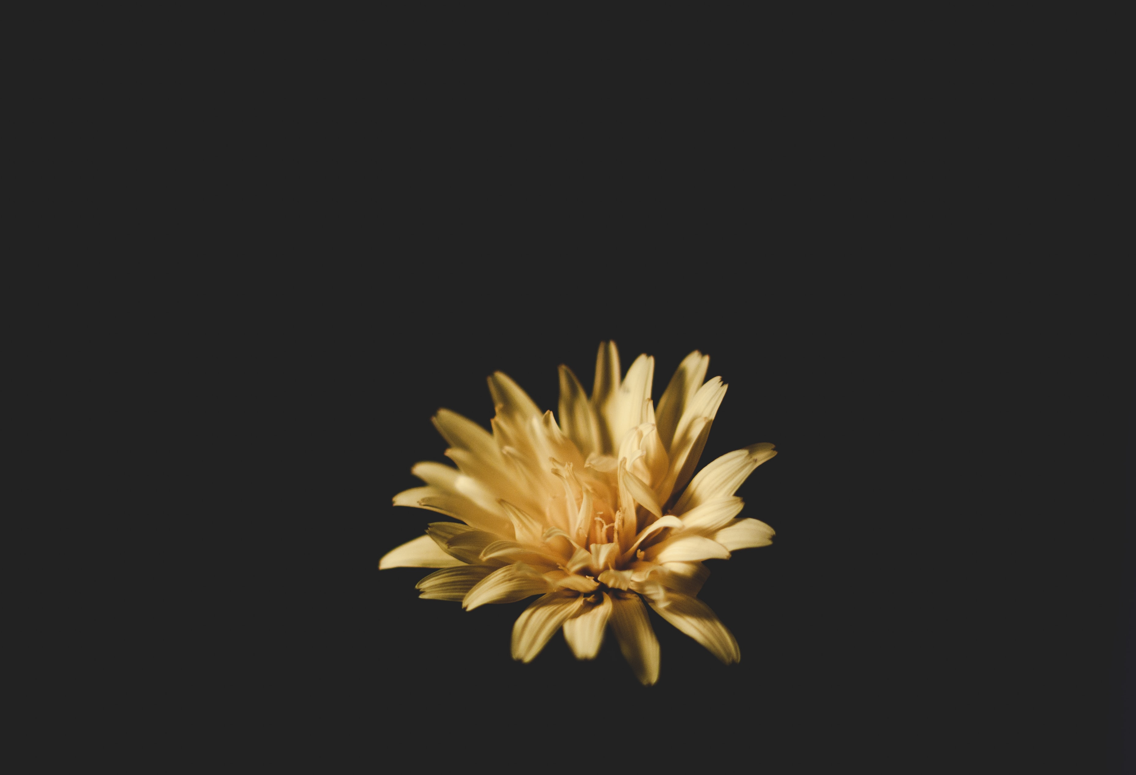 A light orange flower with delicate petals against a black background