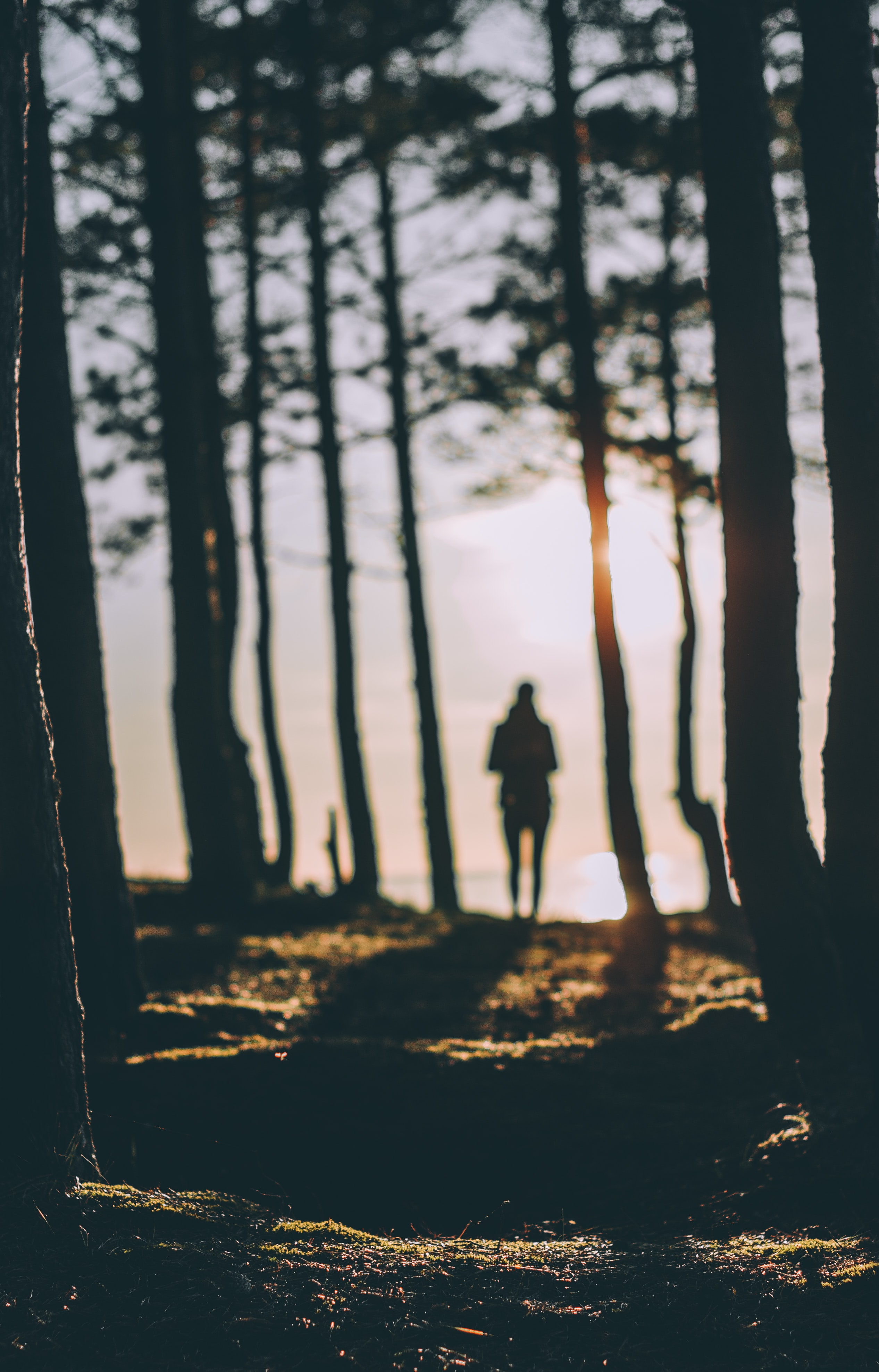 A silhouette of a person standing between tall conifers during sunset