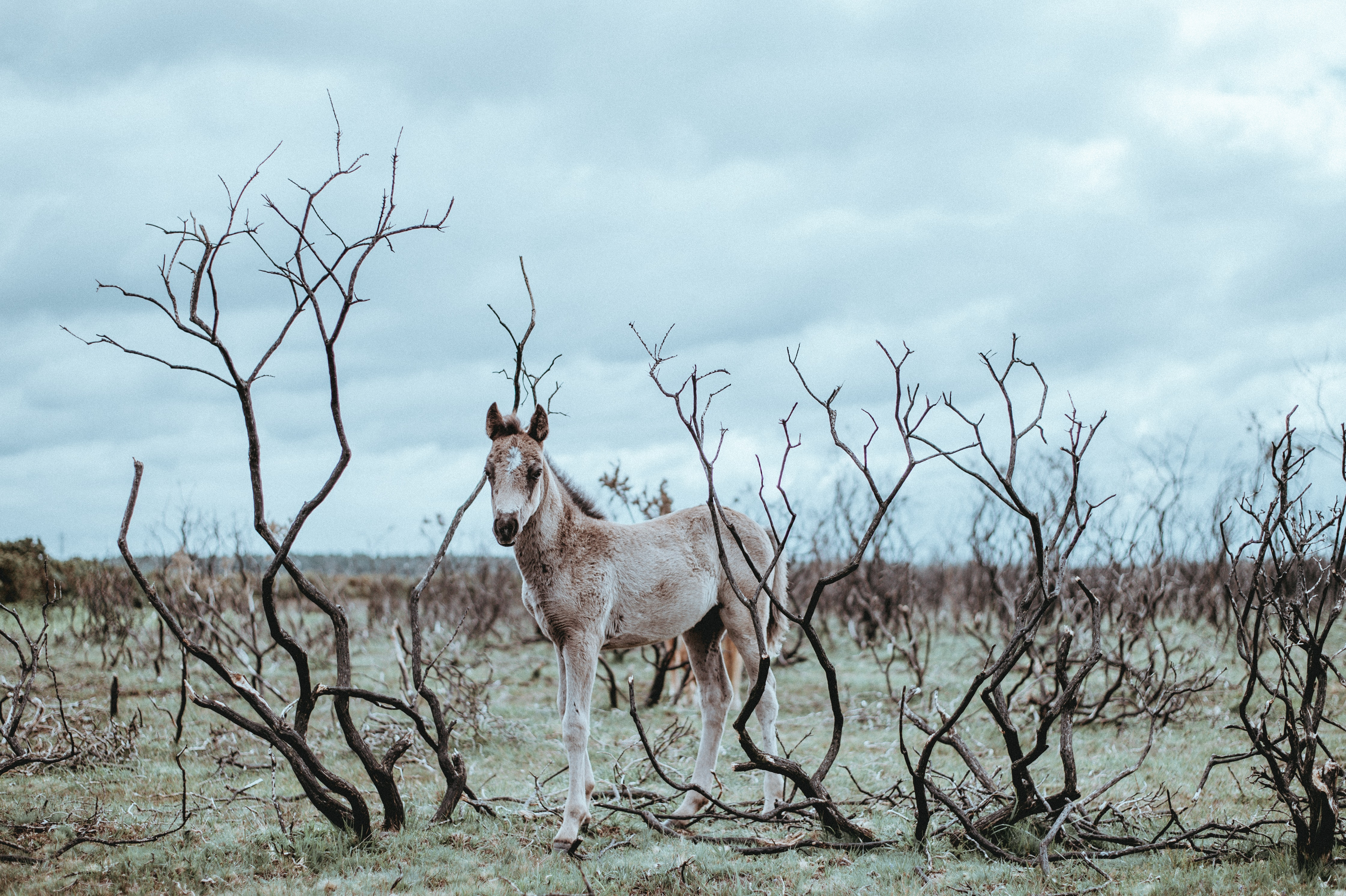 A pony among bare bushes on a cloudy day
