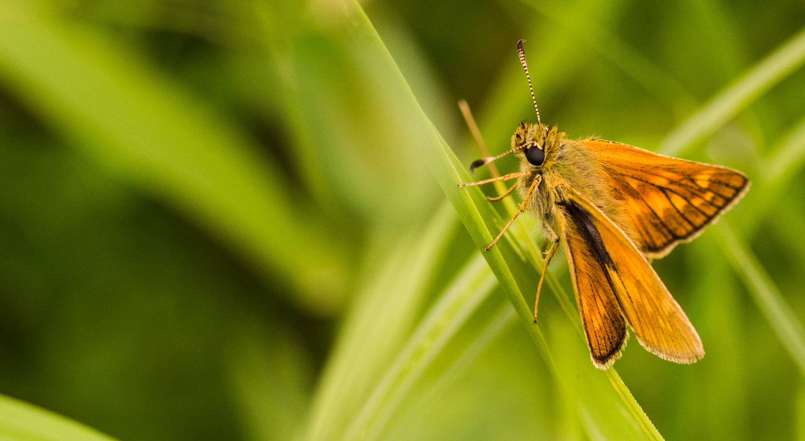 Fuzzy moth lands on a blade of green grass