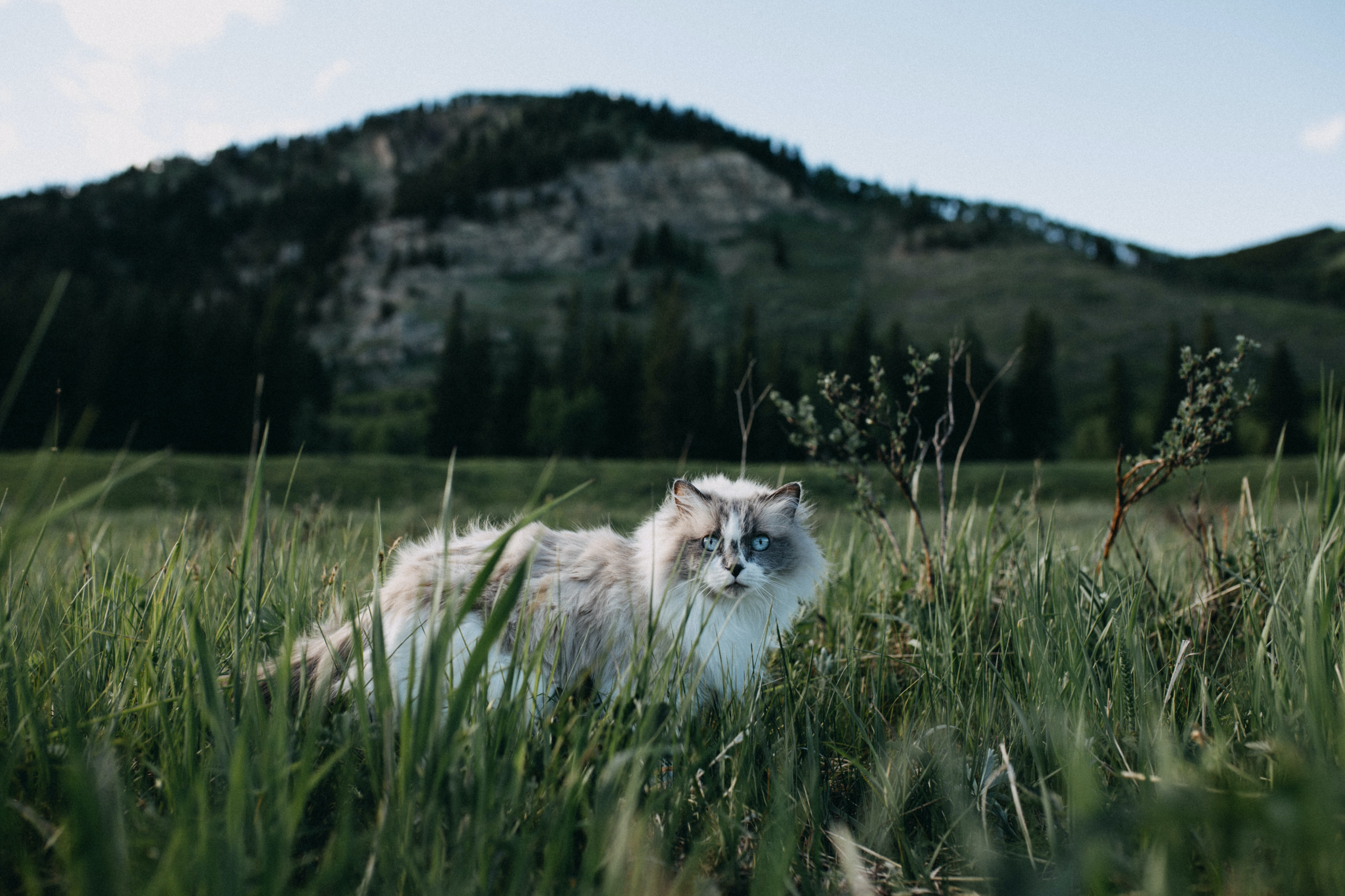 white and gray cat on grass field