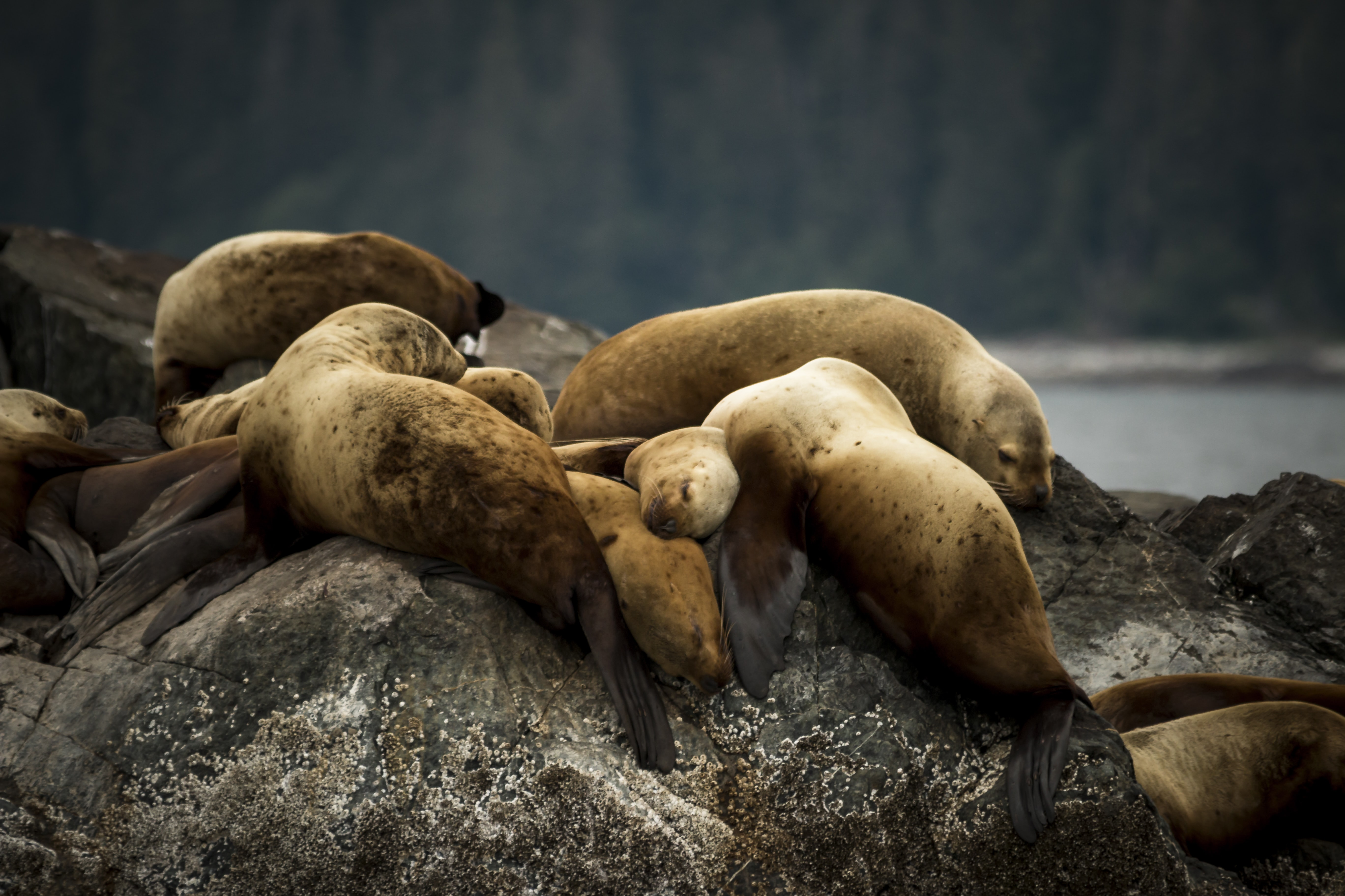 Sea Lion's napping on a rock in Tracy Arm
