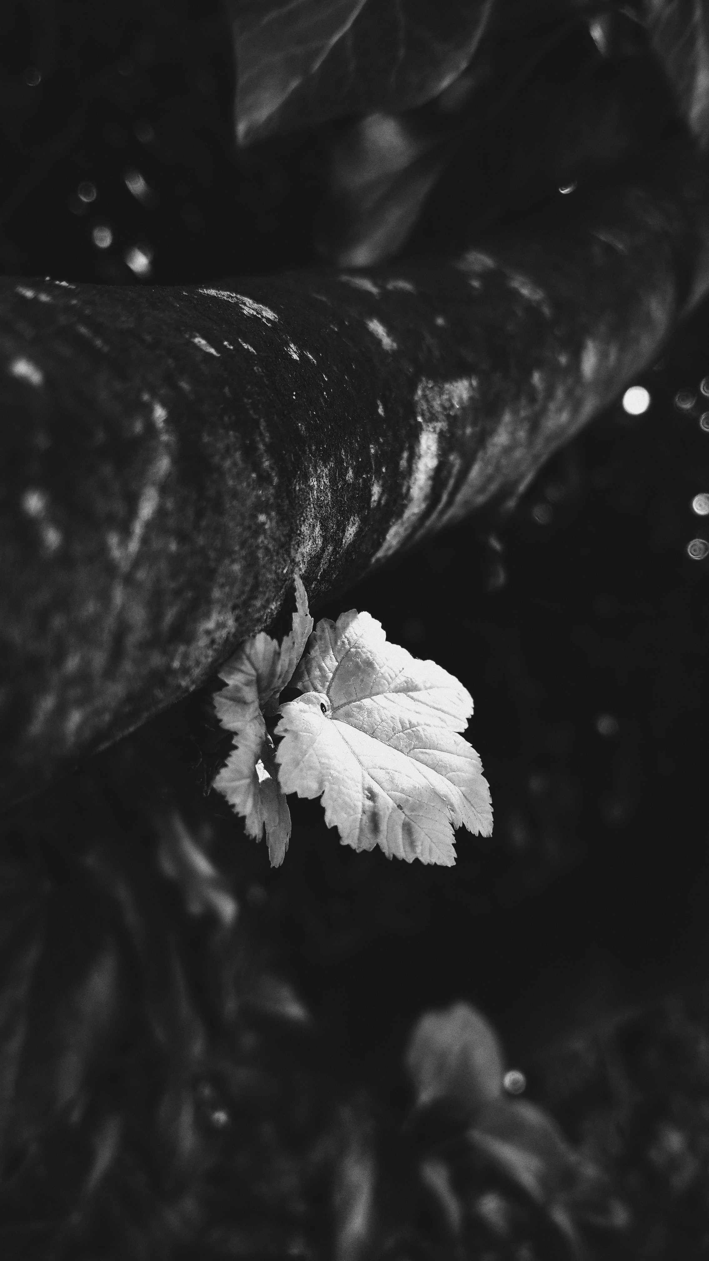 A black and white picture of a leaf.