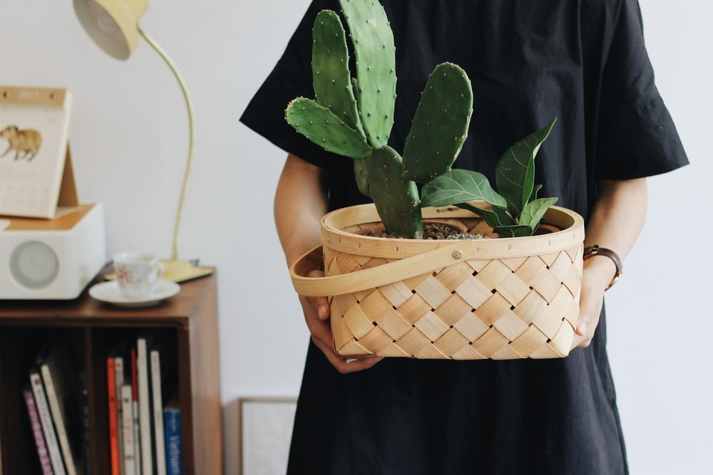 person holding Opuntia plant in basket