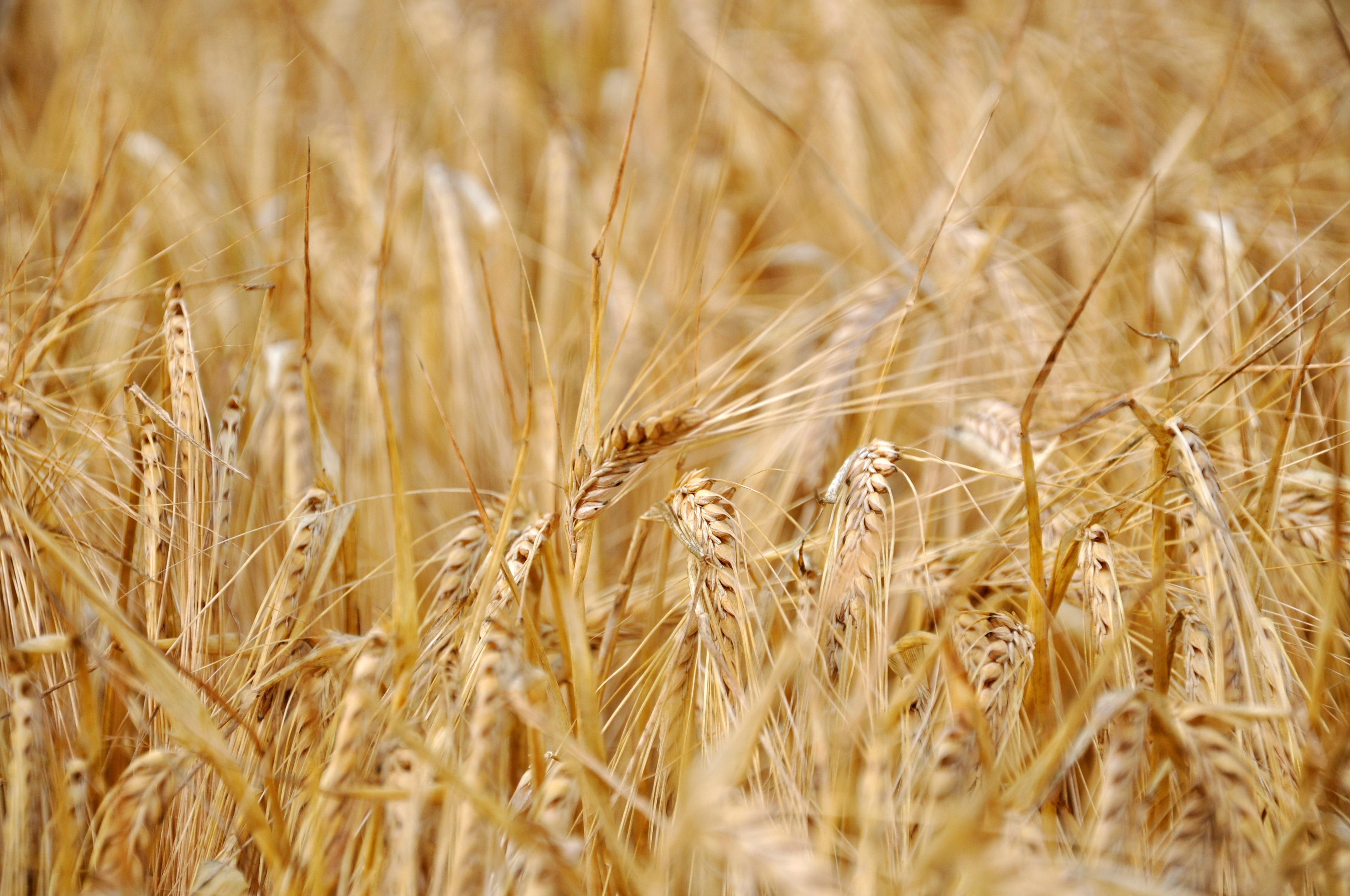 Golden ears of barley in a field