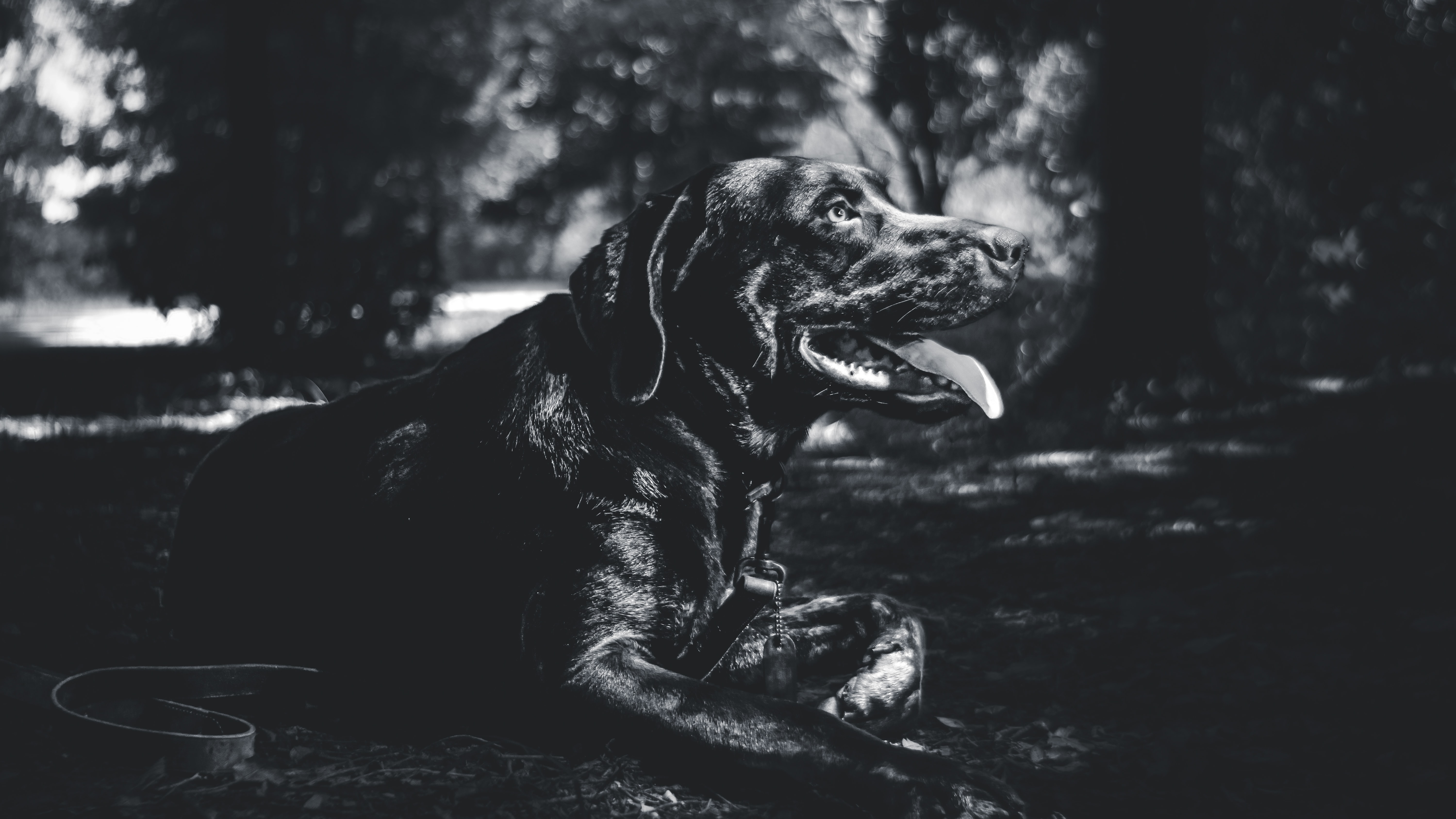 Black and white profile shot of dark colored labrador sitting with tongue out in Fort Worth