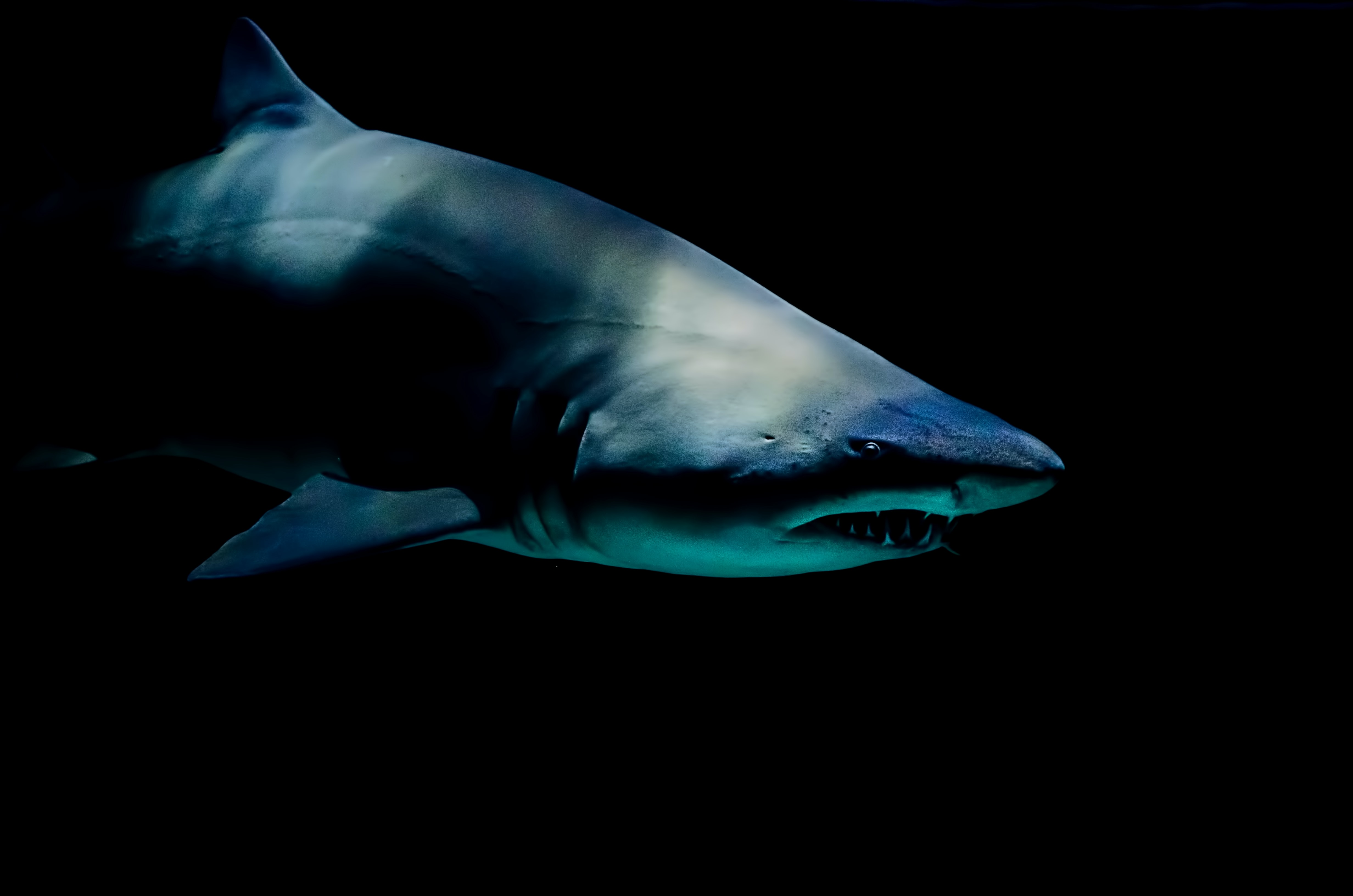 Dark shot of shark with sharp teeth in water at Moody Gardens