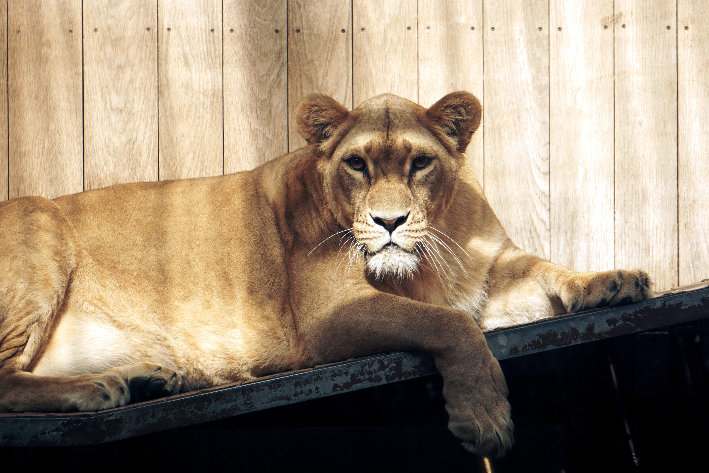 A female lion lying on a platform near a wooden wall in Straubing Zoo