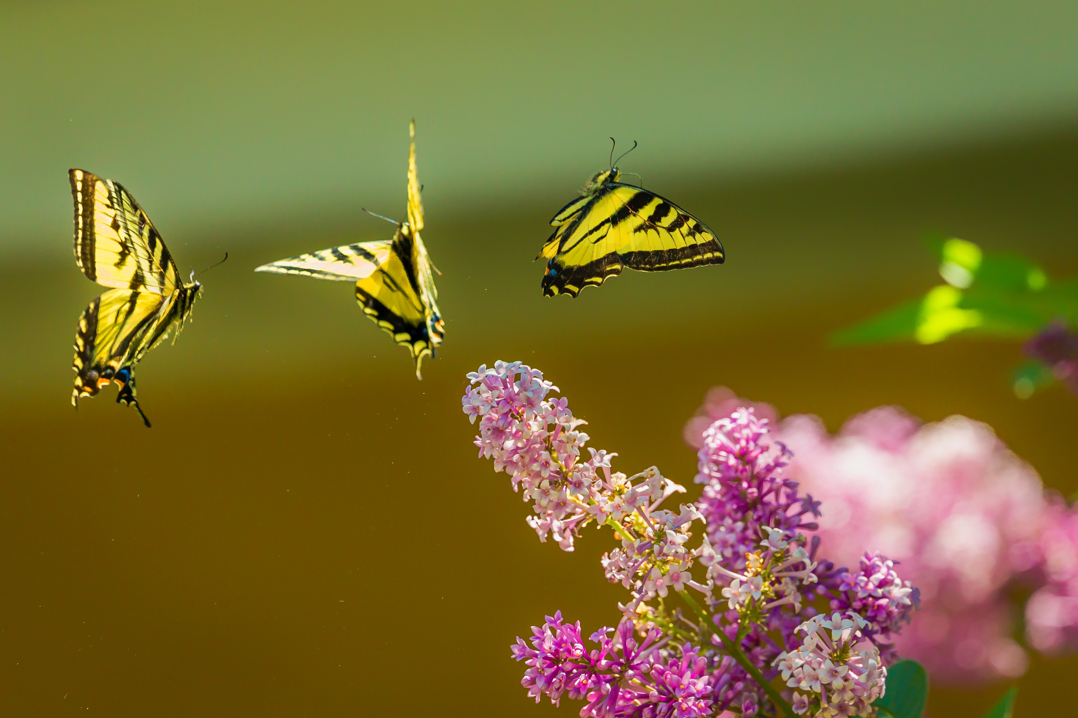 Yellow and black butterflies flying above pink flowers