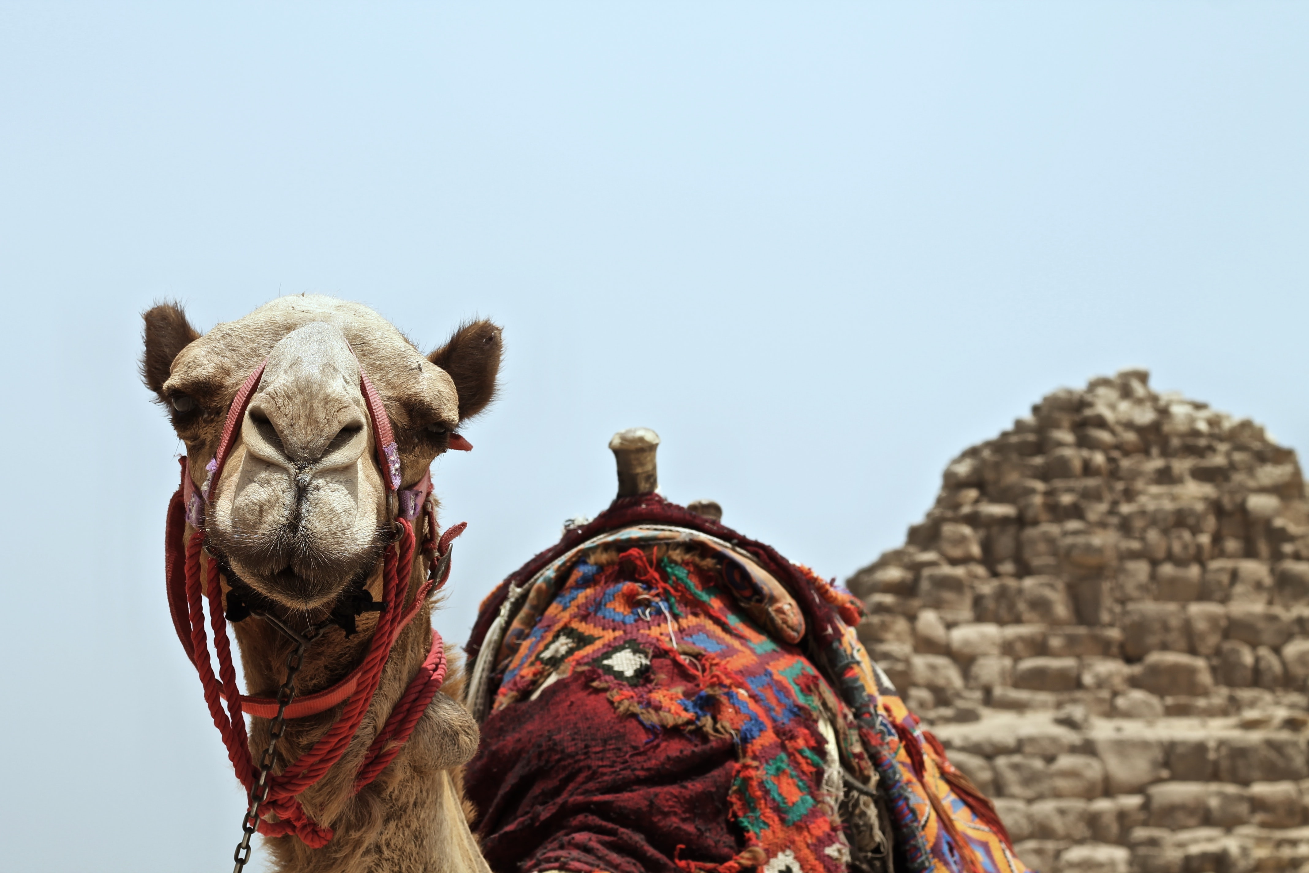 A camel with its saddle wrapped in patterned red fabrics standing in front of The Great Pyramids in Egypt