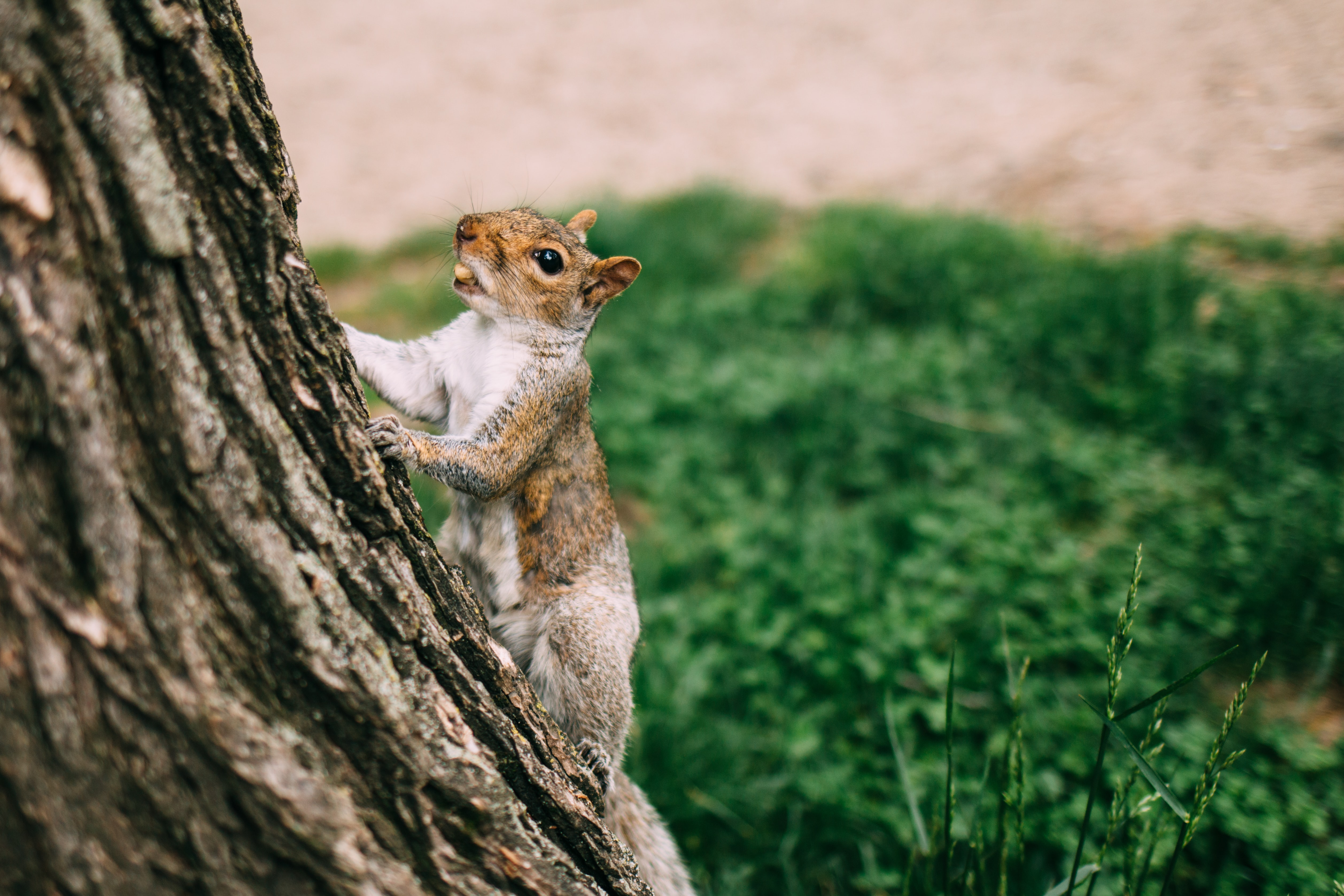 brown and white squirrel climbing on tree