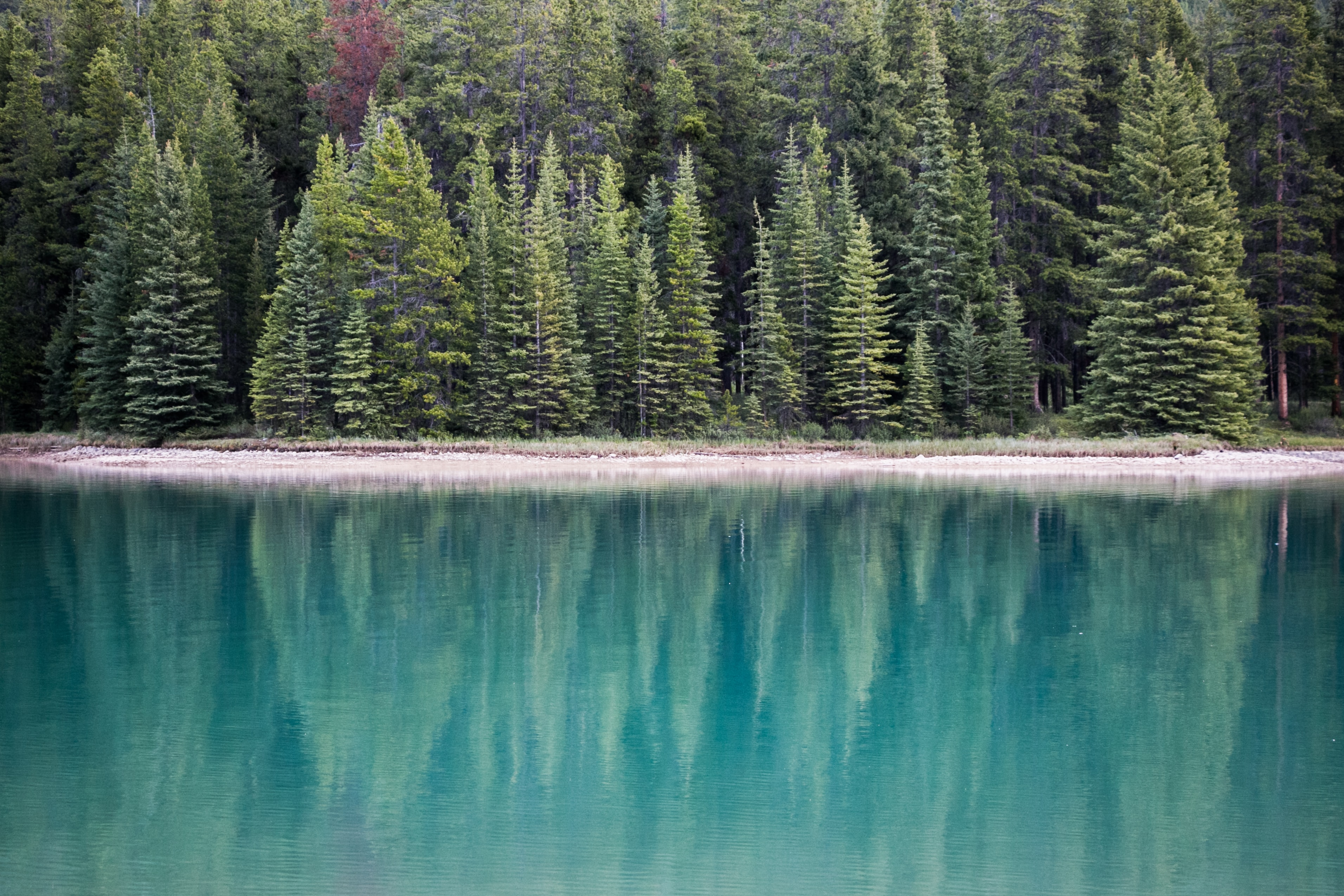 Evergreen trees reflected in the surface of a nearby lake