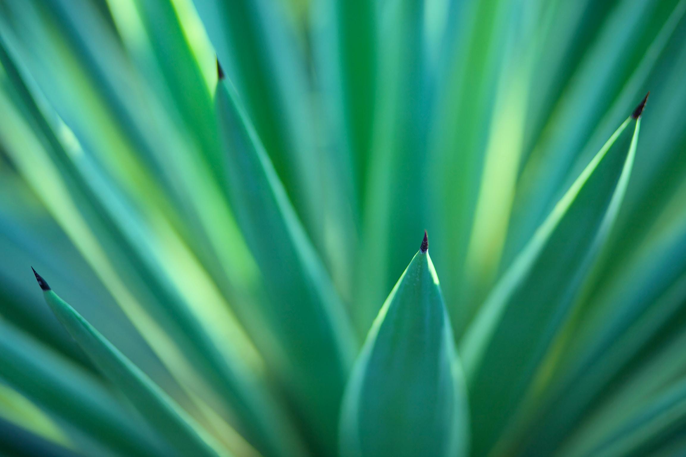 A macro shot of sharp green flax leaves shooting upwards