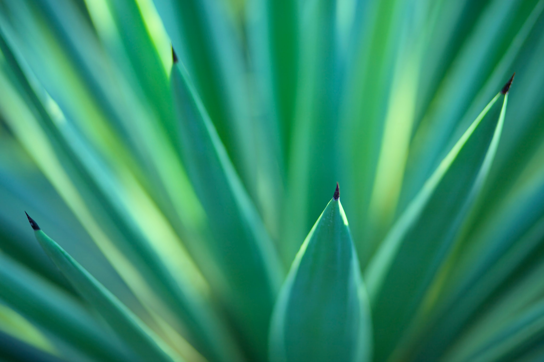 A macro shot of sharp green flax leaves shooting upwards