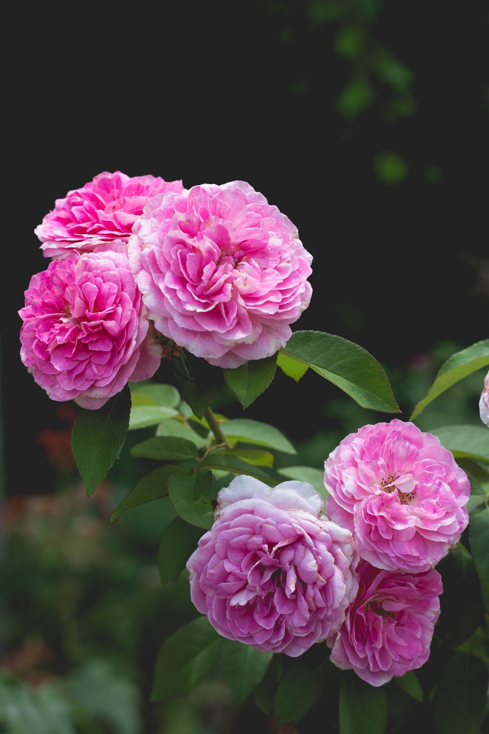 cluster of pink roses