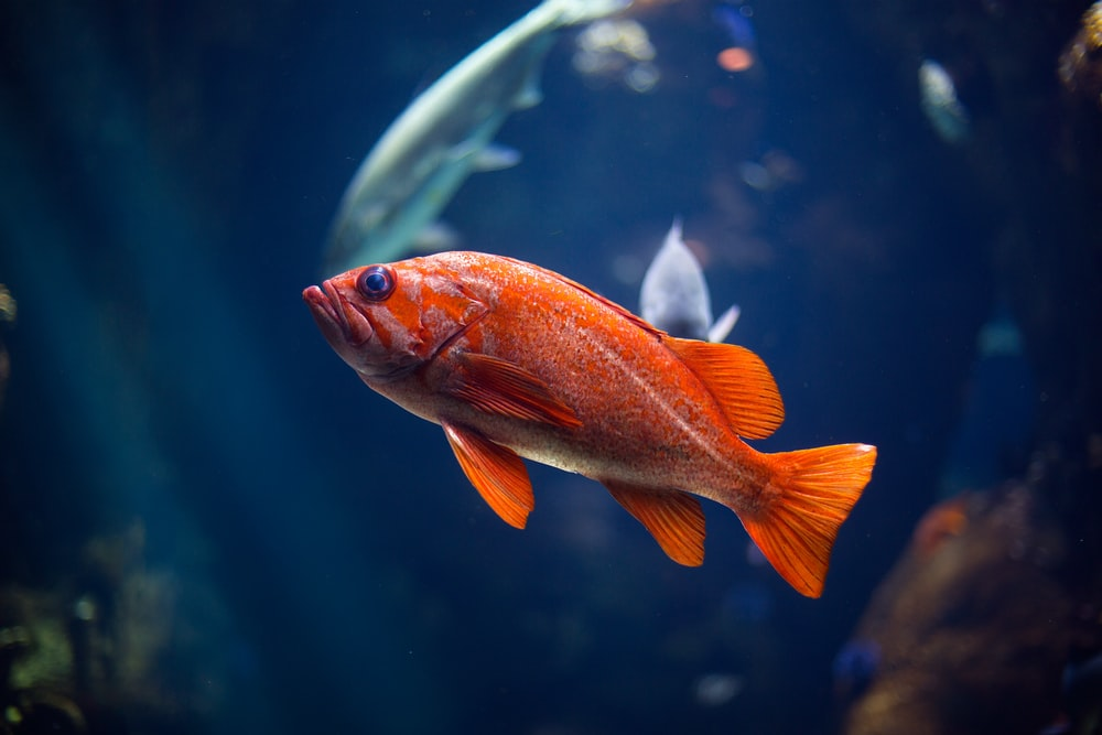 underwater photography of red fish