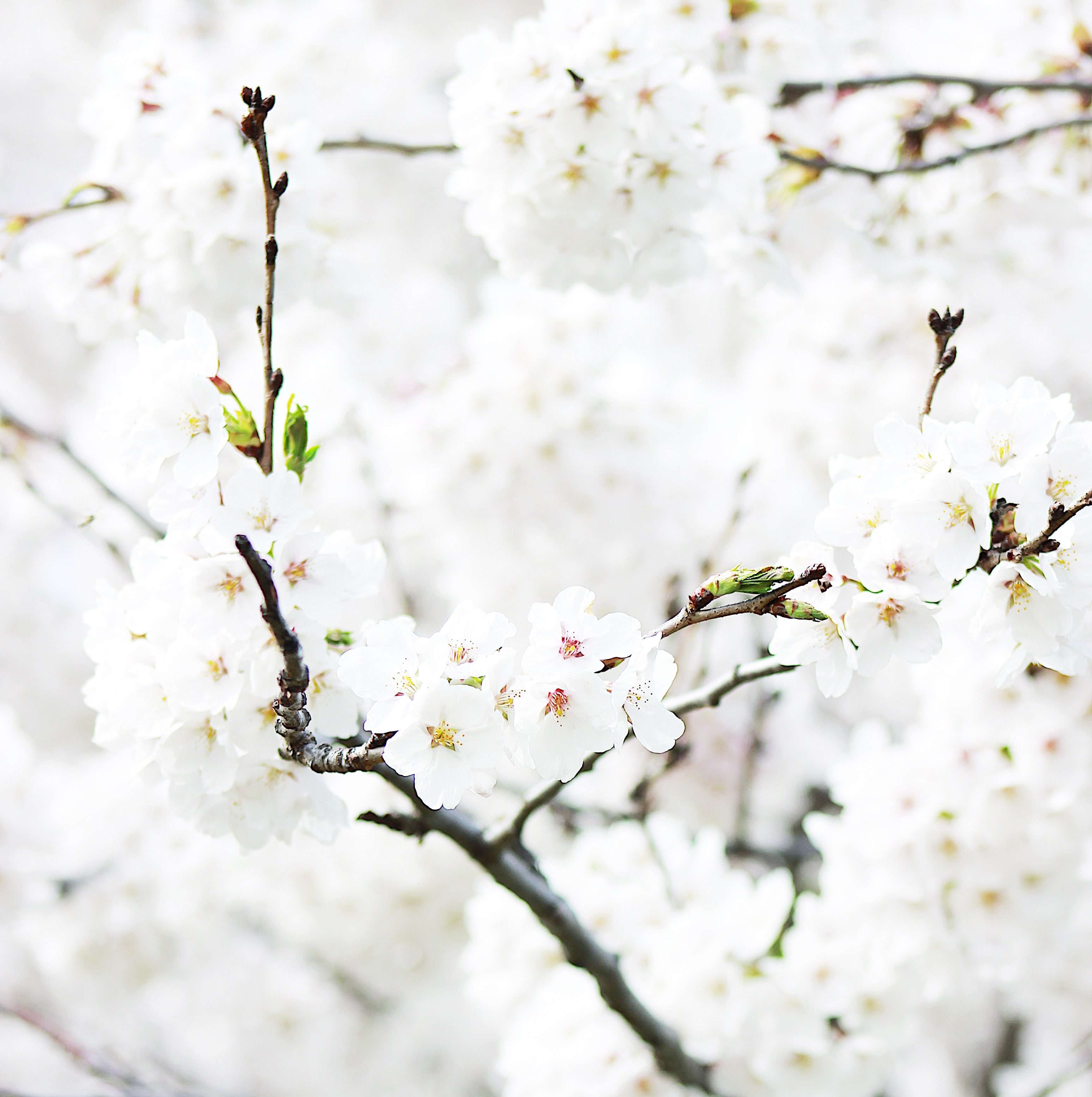 Close up of cherry blossom branch in full bloom in Spring, High Park