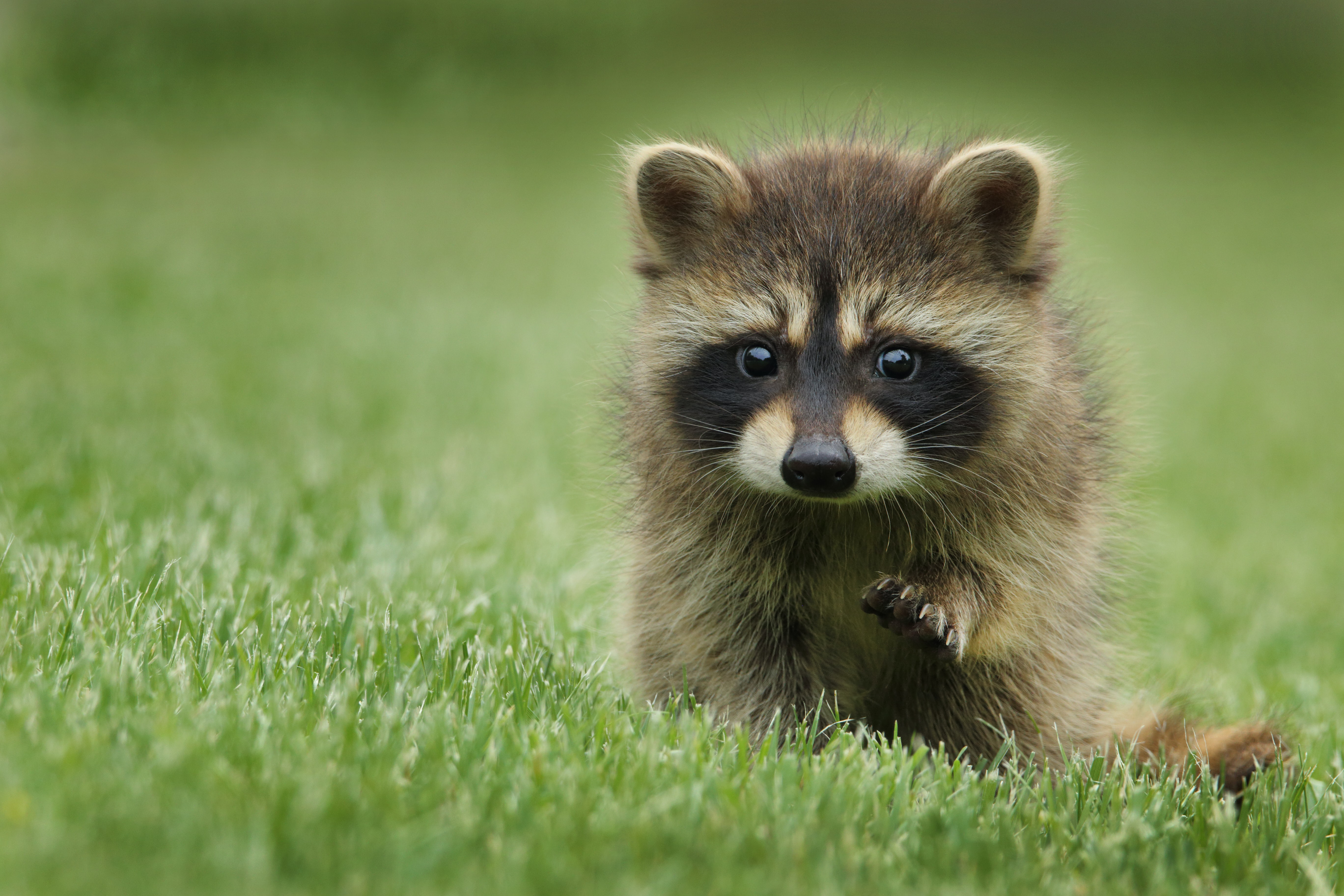 A baby raccoon raising its arm in a patch of grass