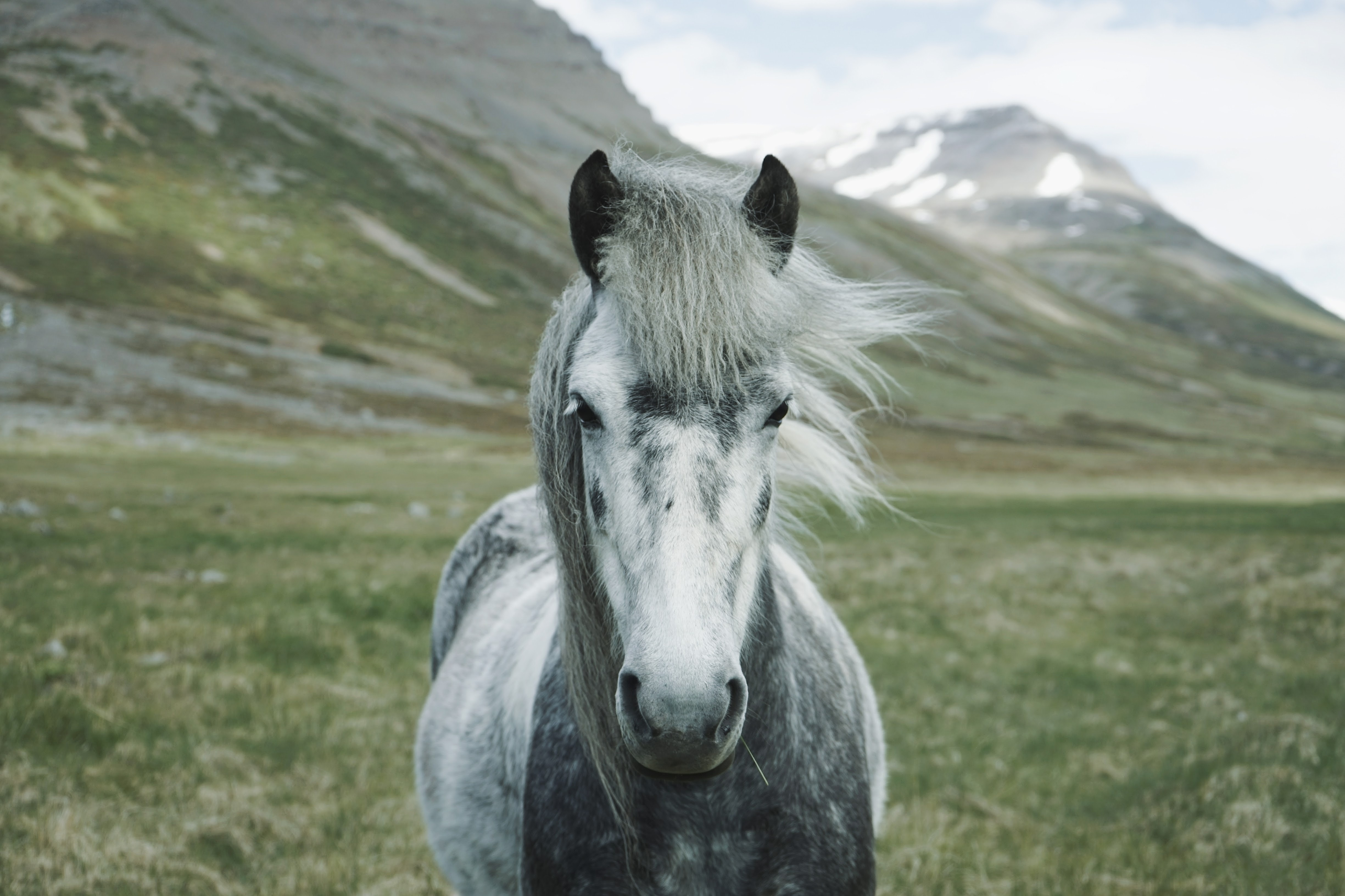 A front shot of a gray horse on a green field at the foot of snowy mountains