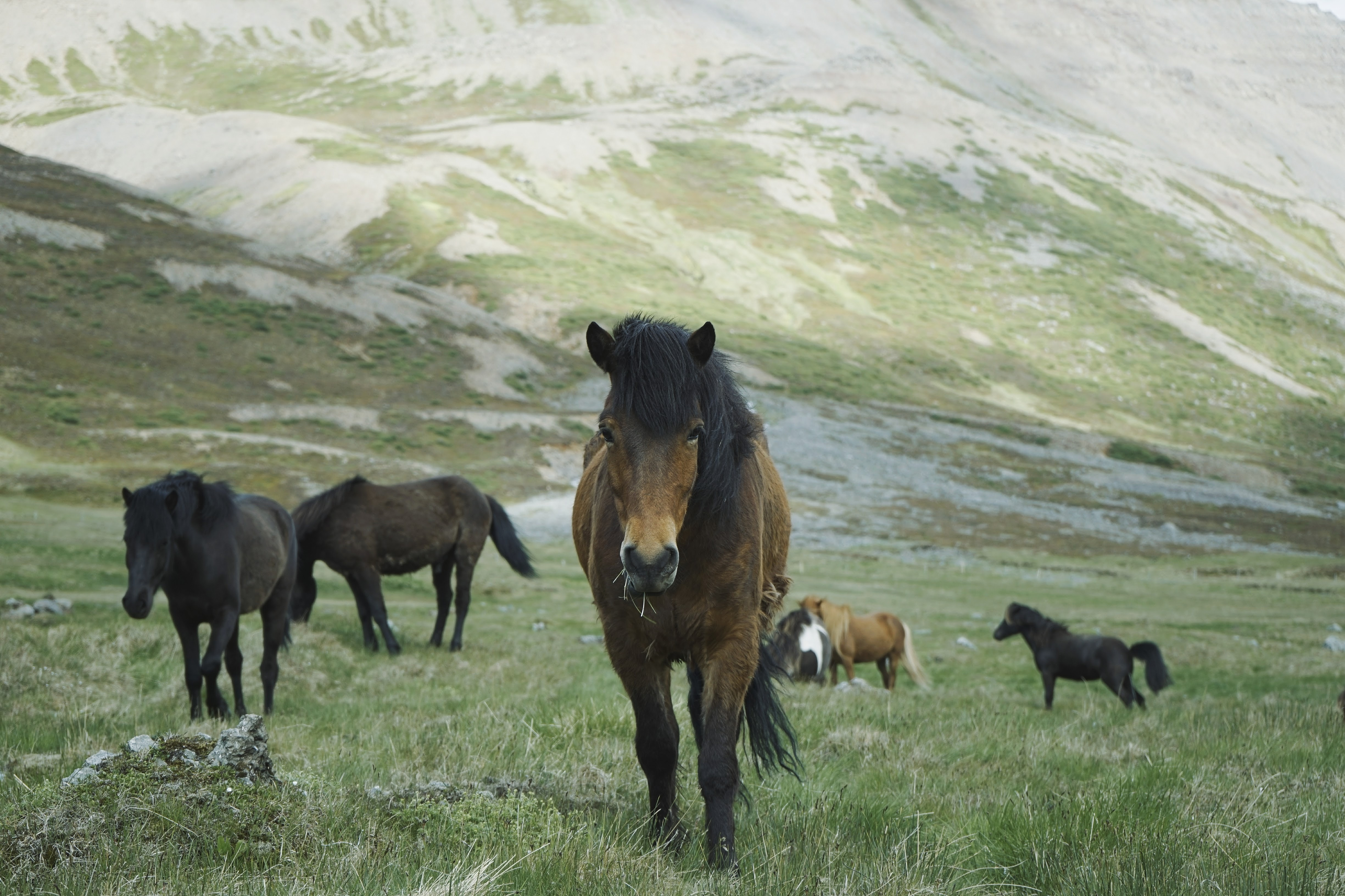 A herd of black and chestnut horses on a green pasture near a steep slope