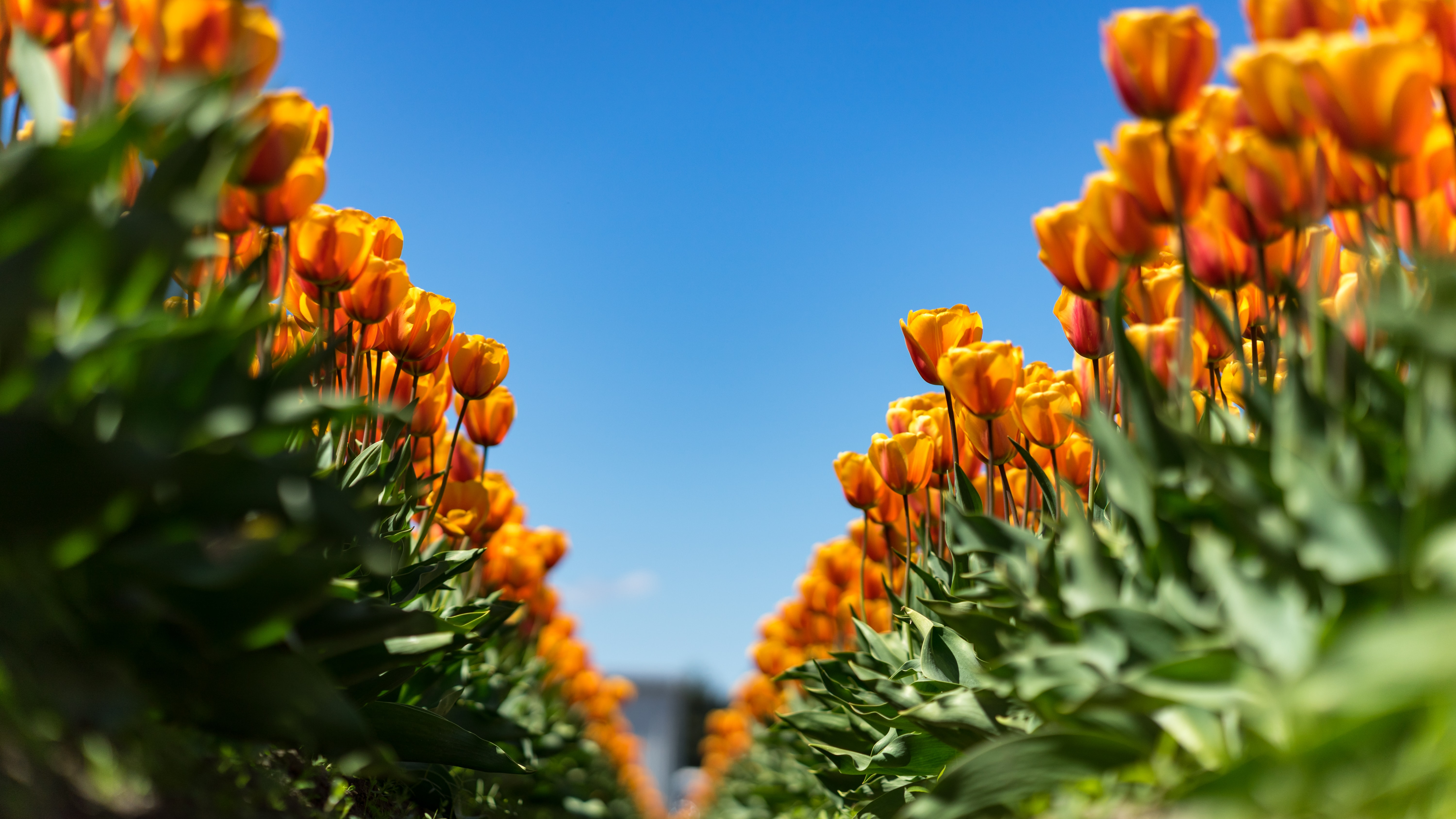 Two long rows of orange tulips under a blue sky