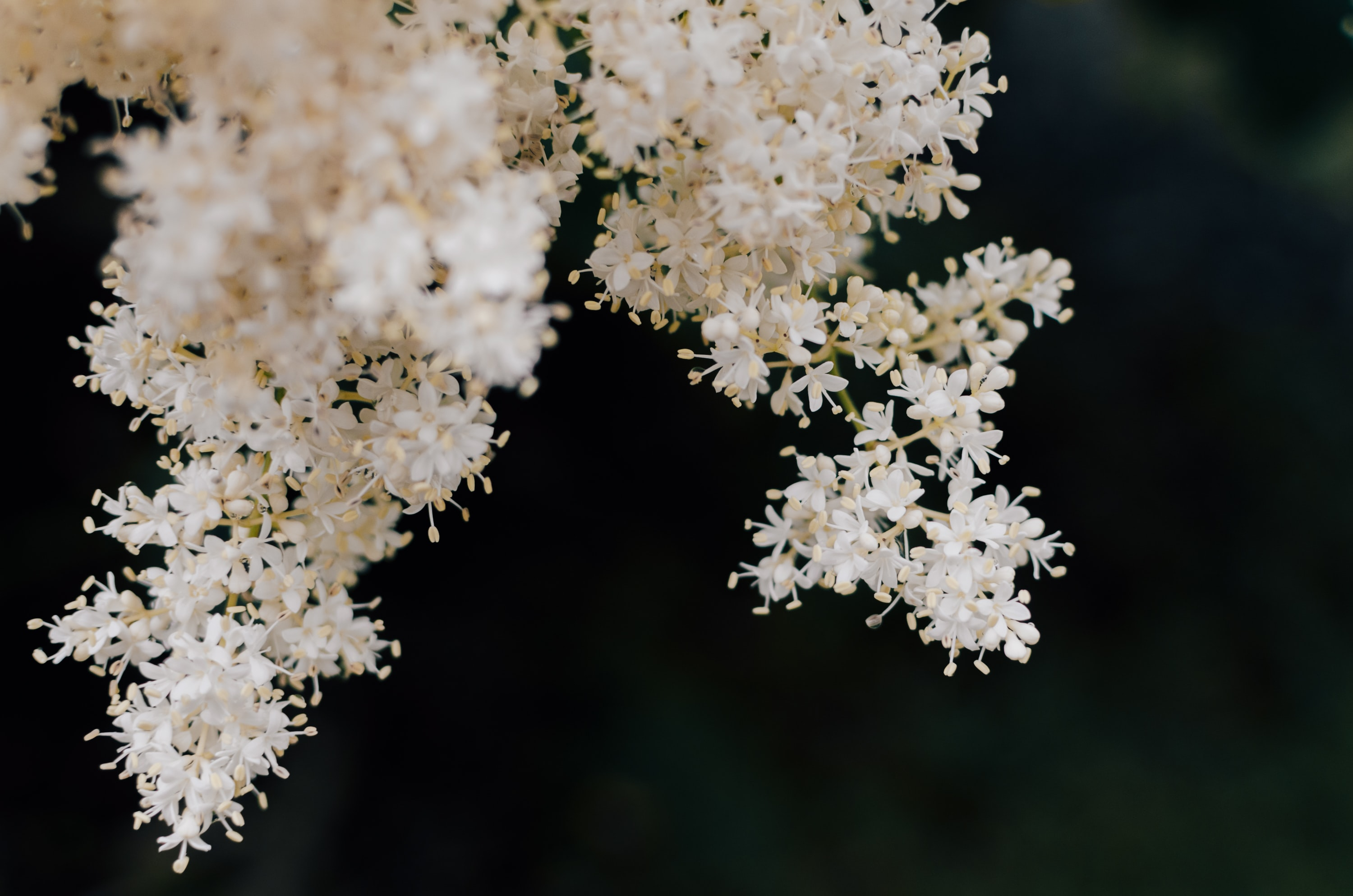 A bunch of white flowers, with a dark background.