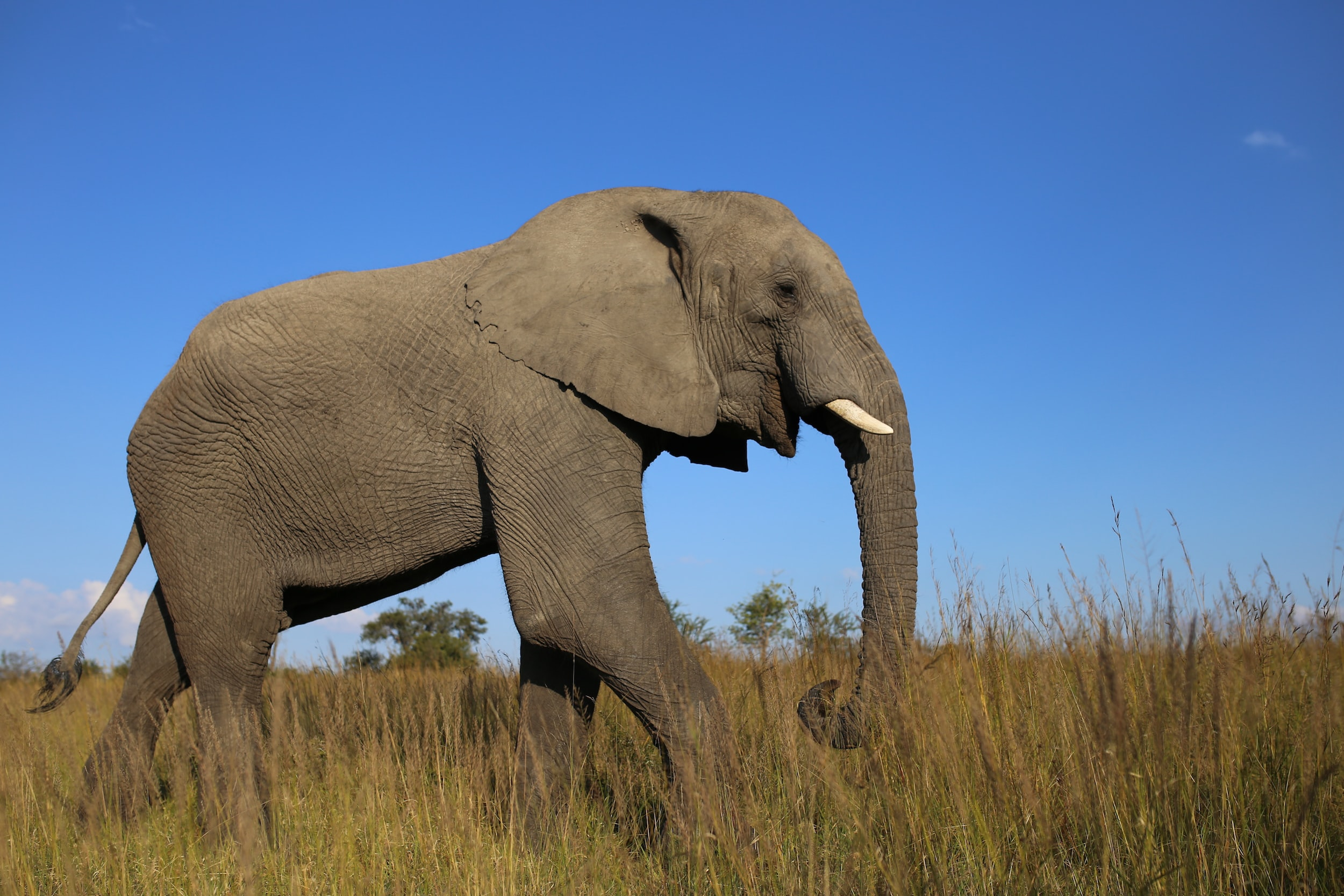 A happy looking elephant strolling across the savannah