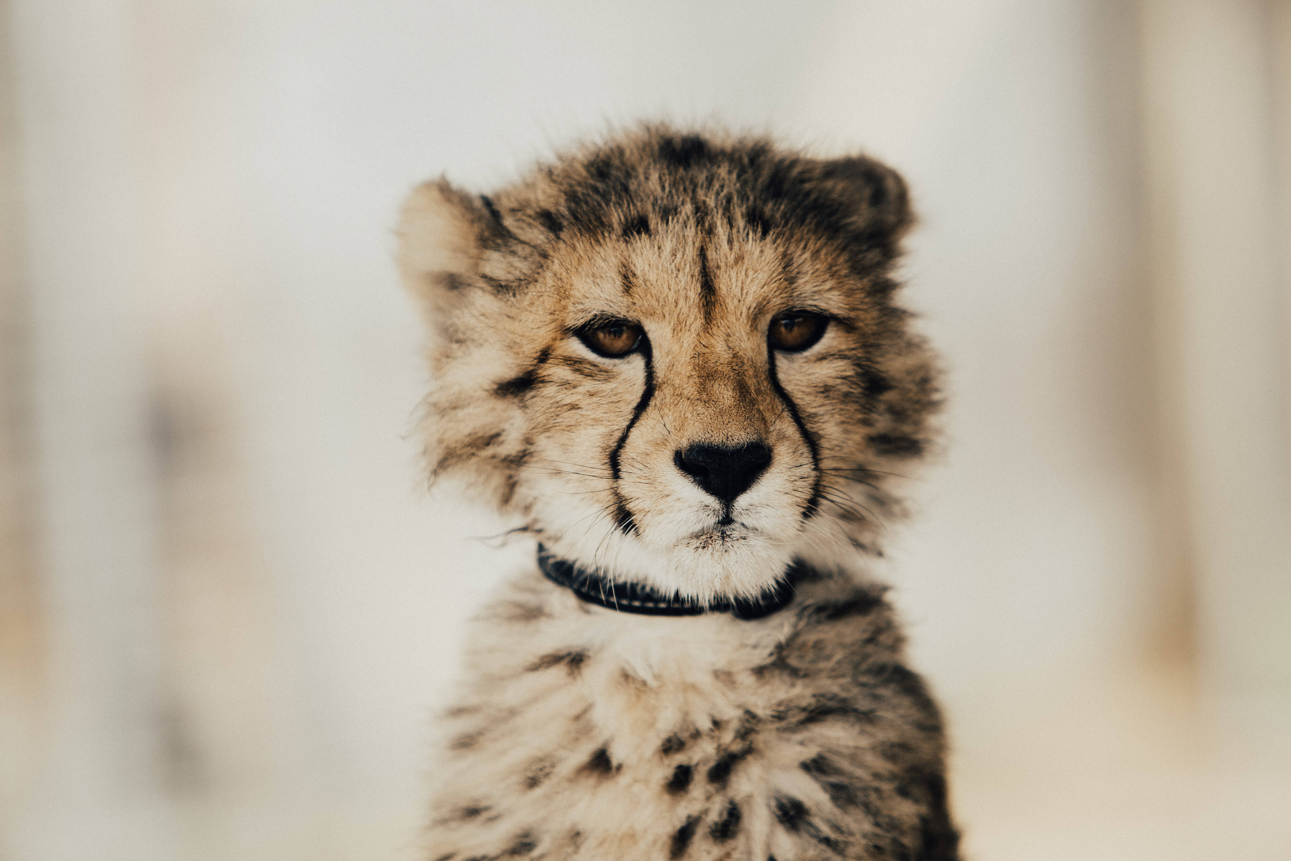 Pensive portrait of a young wild cheetah