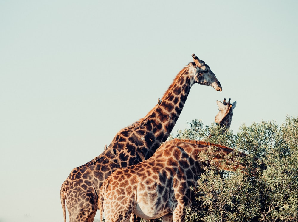 three brown-and-gray giraffes eating tree leaves