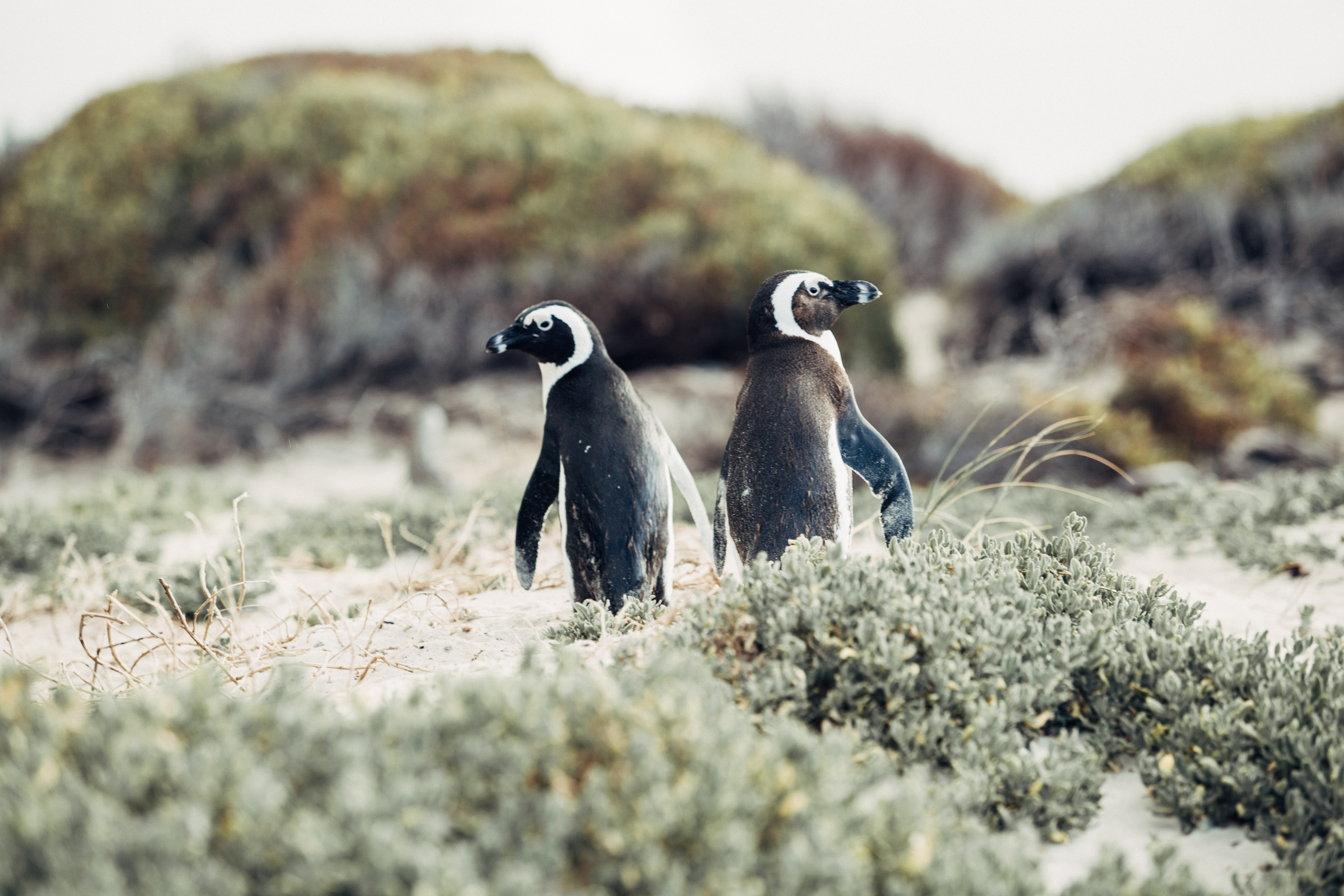 Two penguins stand among plants, looking in opposite directions, in Simon's Town